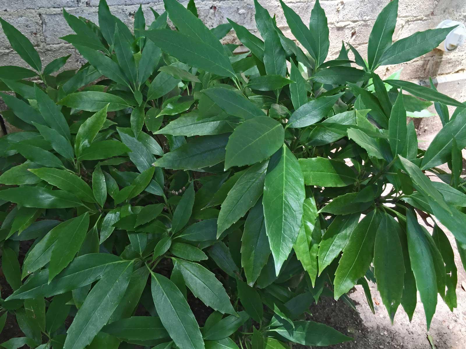 green aucuba