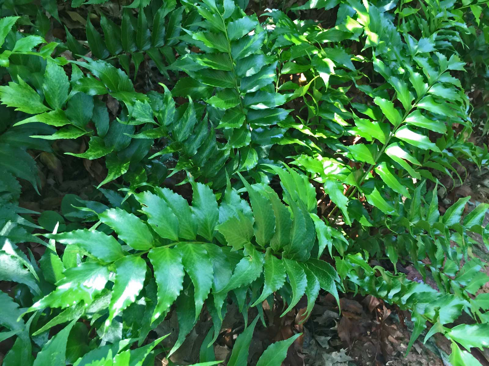 holly-fern