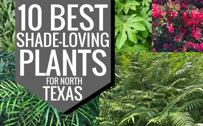 10-best-shade-loving-plants-for-north-texas