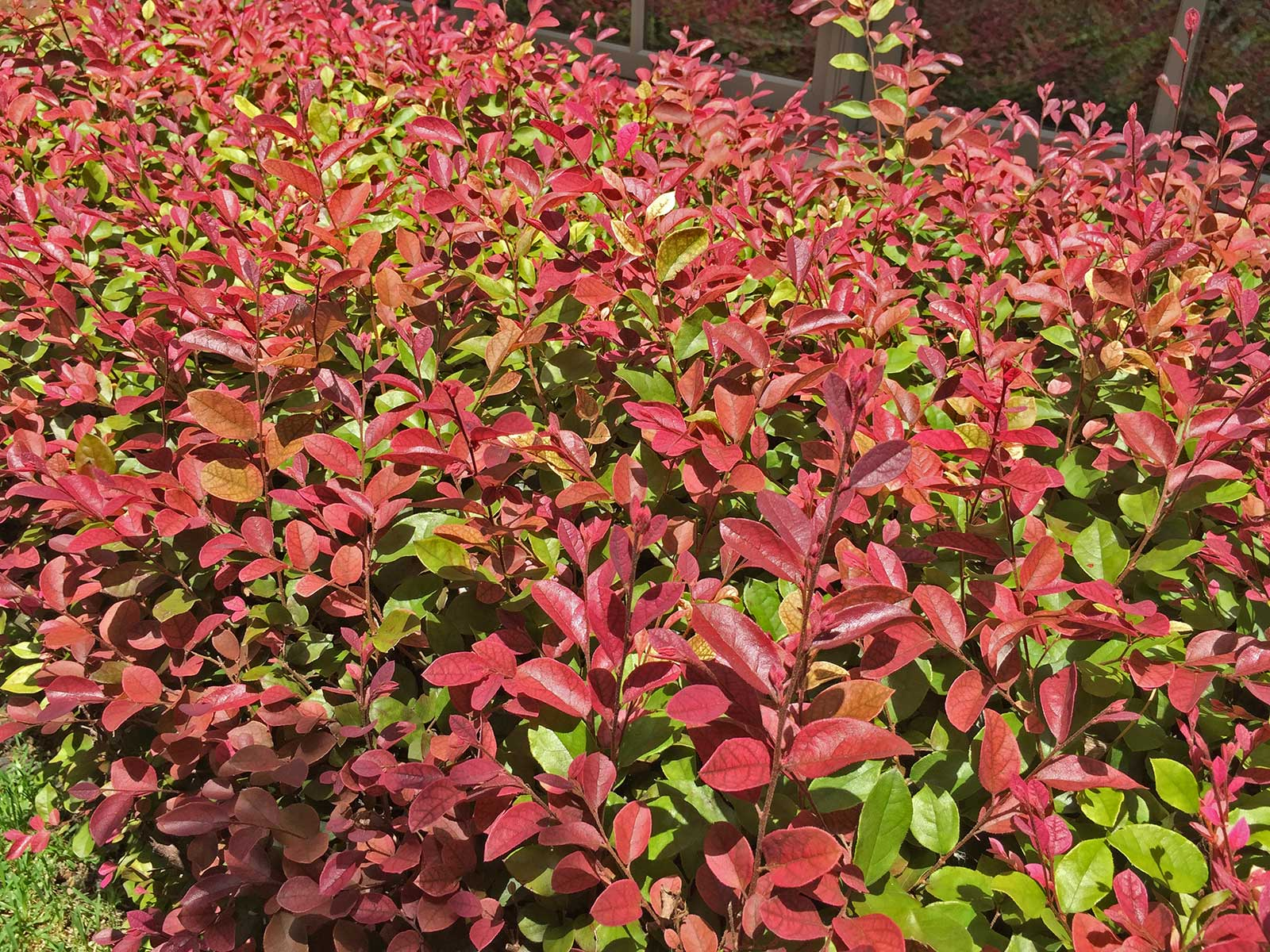 Loropetalum's bright maroon and red leaves make a nice contrast to the base green leaves and the intensity of the leaf coloring is often tied to the amount of light it receives.