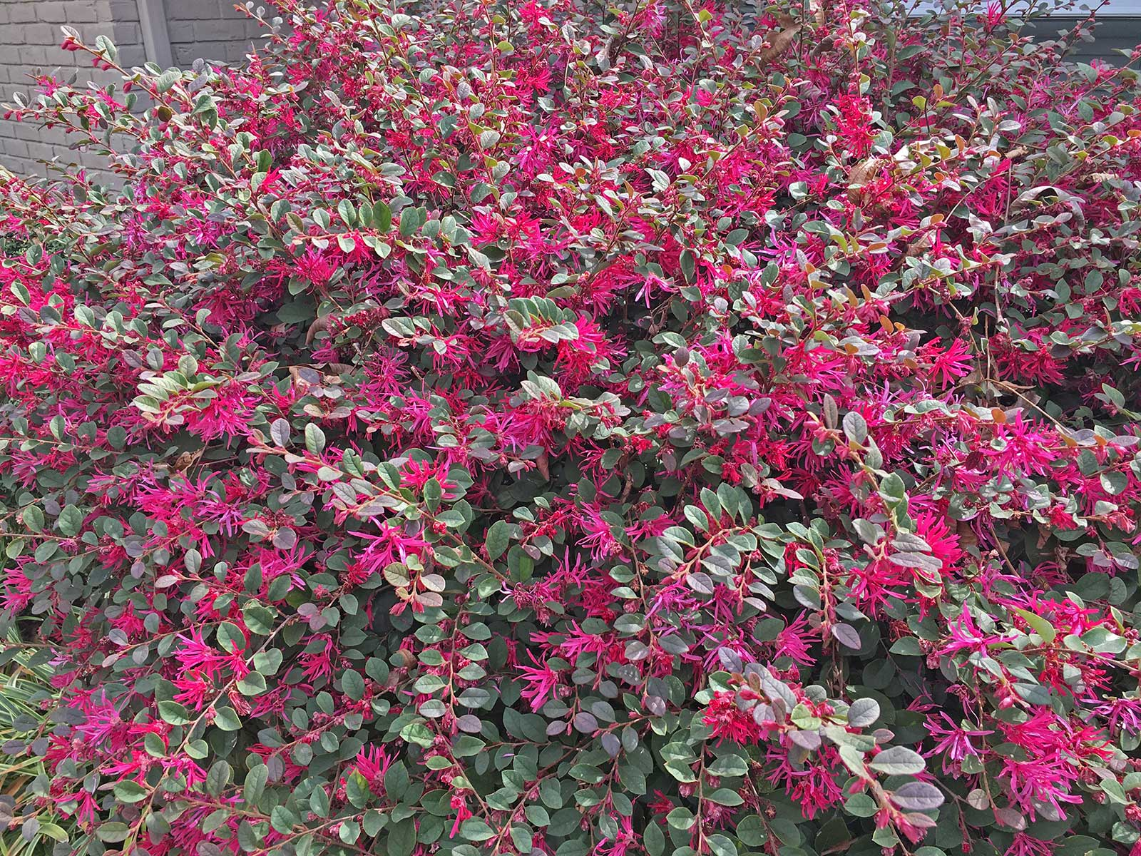 Bright pink spring time blooms on the Loropetalum that give it it's Fringe Flower name.