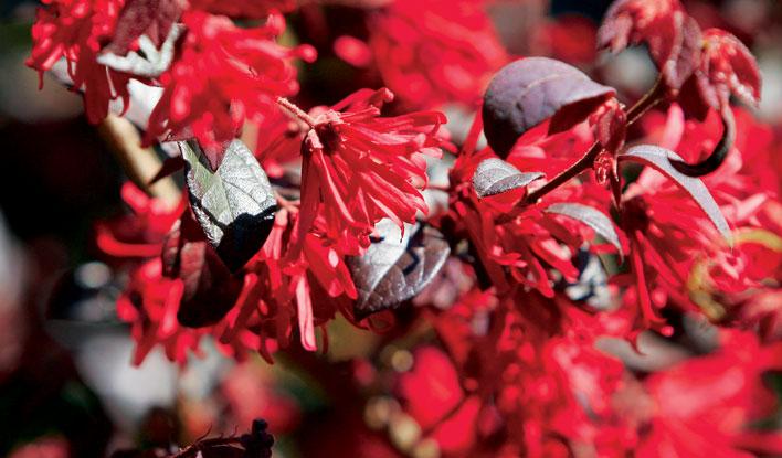 Loropetalum 'Ever Red'