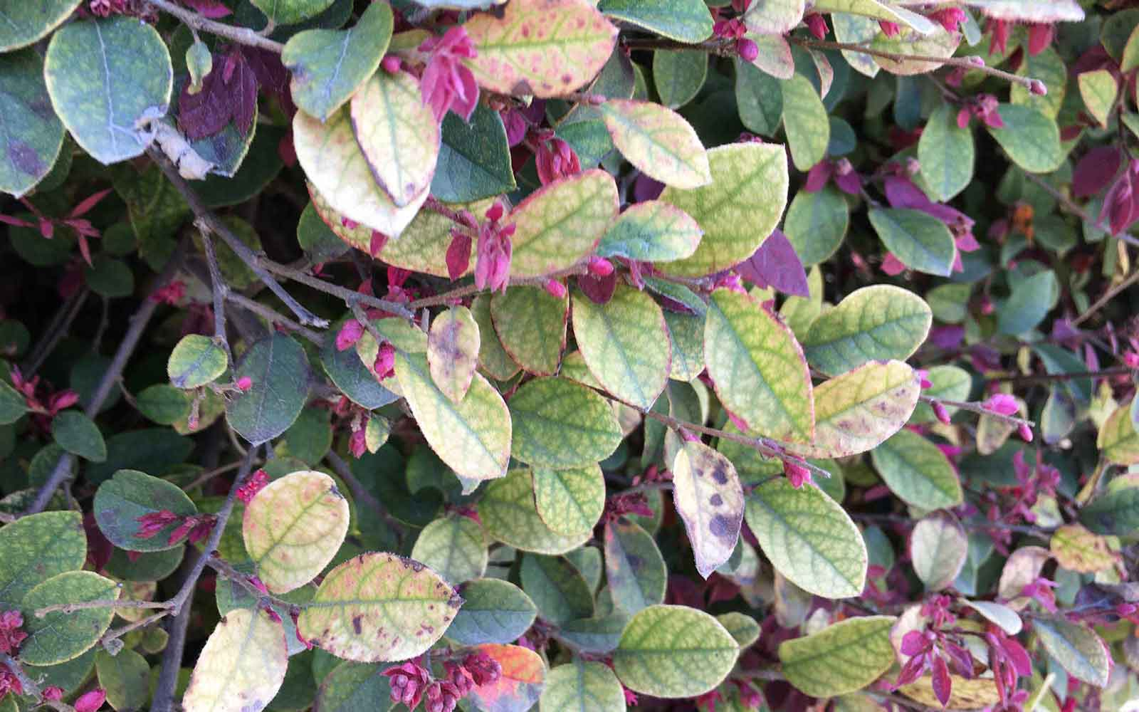 Loropetalum leaves can often be susceptible to patches of the leaves turning brown or yellow as the plant ages.