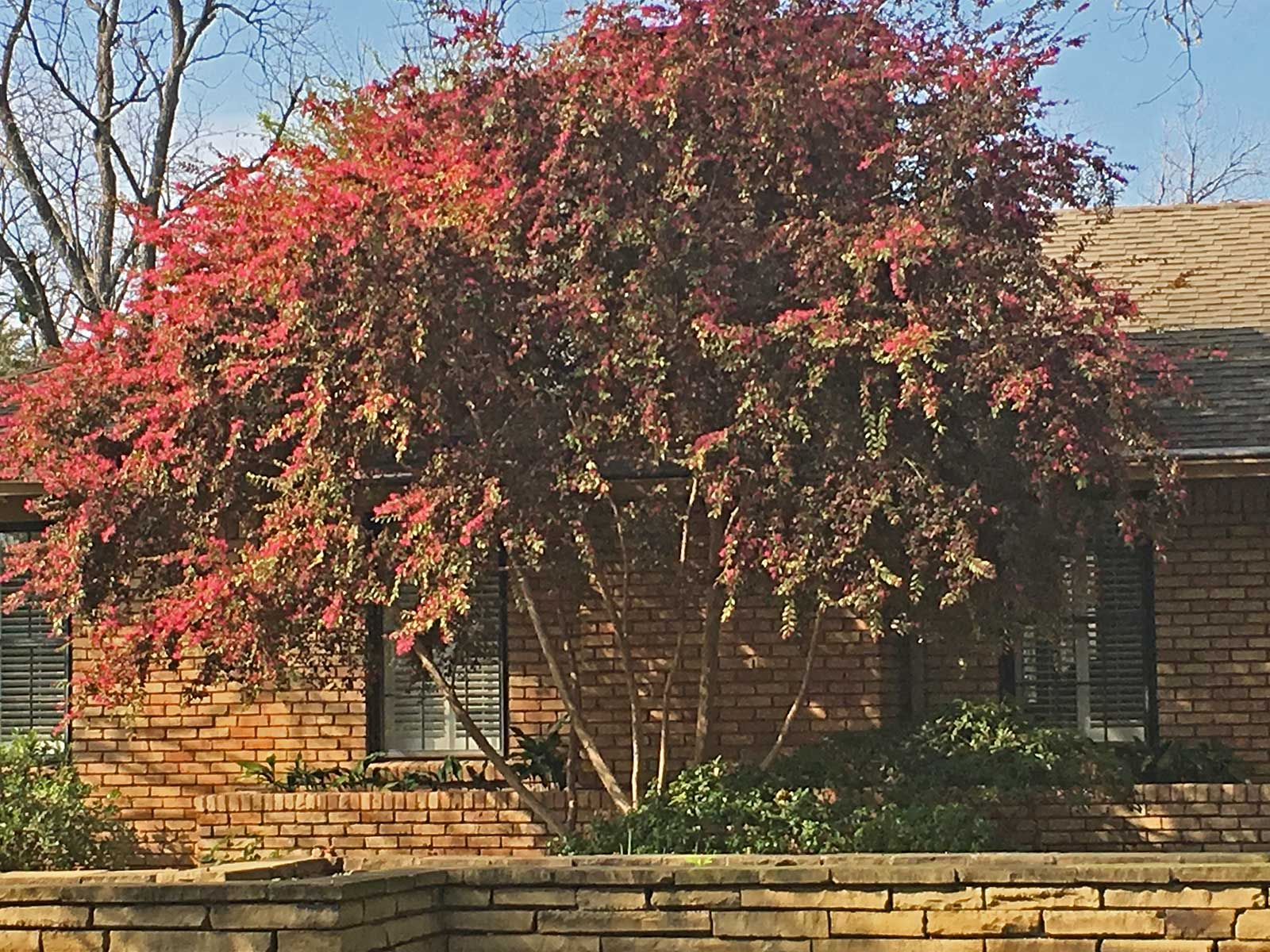 Ornamental Tree Form  - This is a a rather atypical example of Loropetalum where it has been trained into a small tree form over time.
