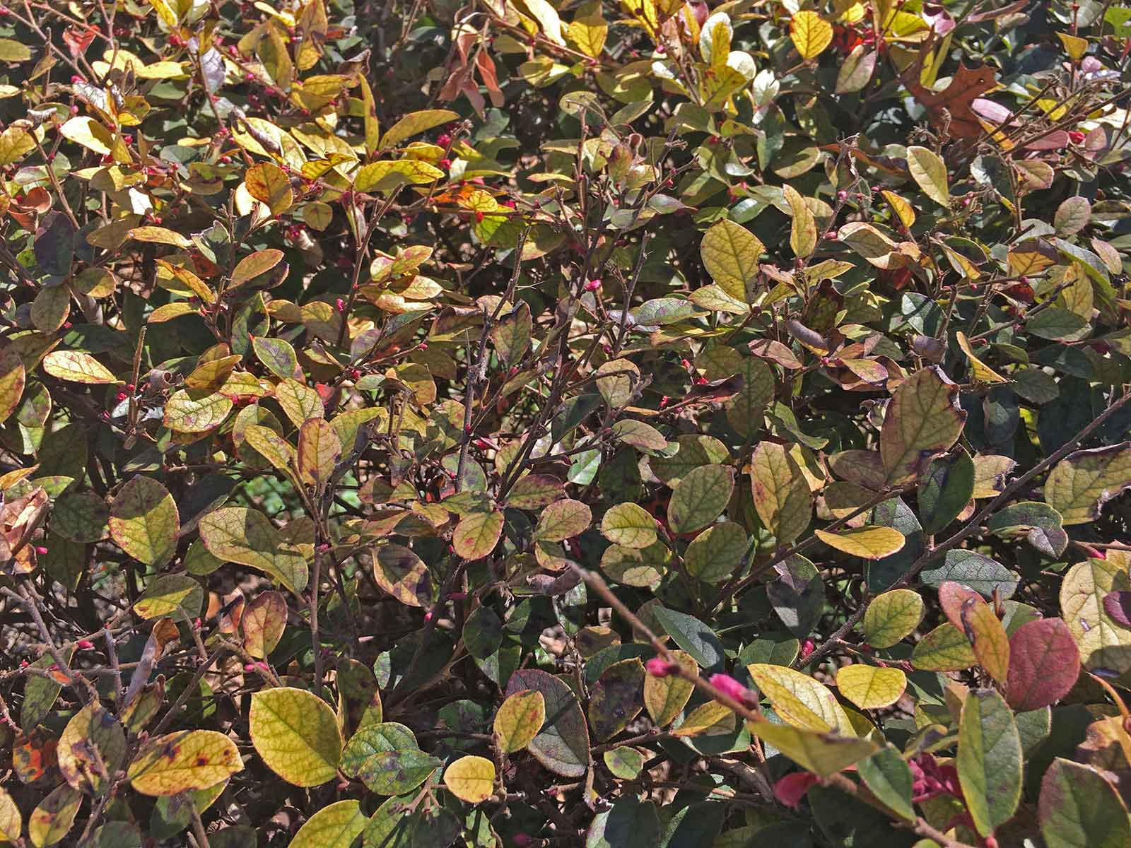 Another example of how the Loropetalum leaves turning to a dirty brown and yellow color.
