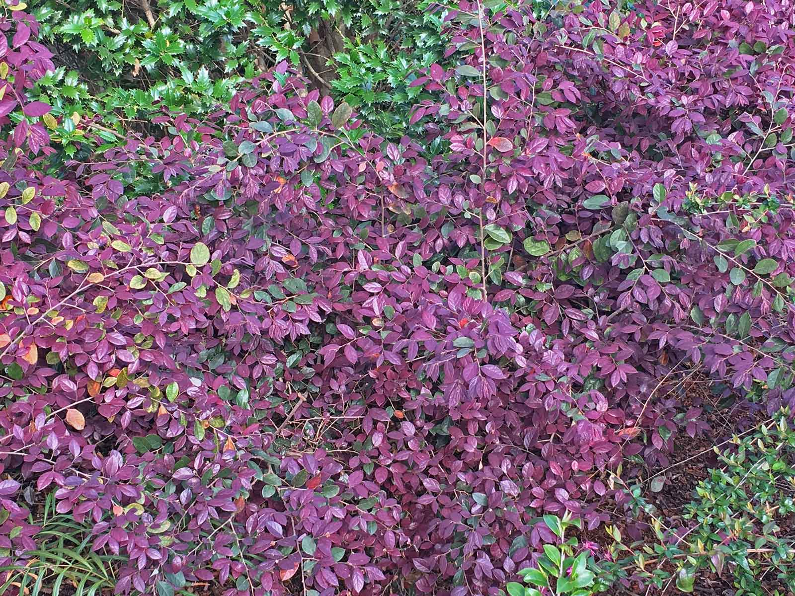 Loropetalum leaves can have a wide range in color from green to a vibrant purple.