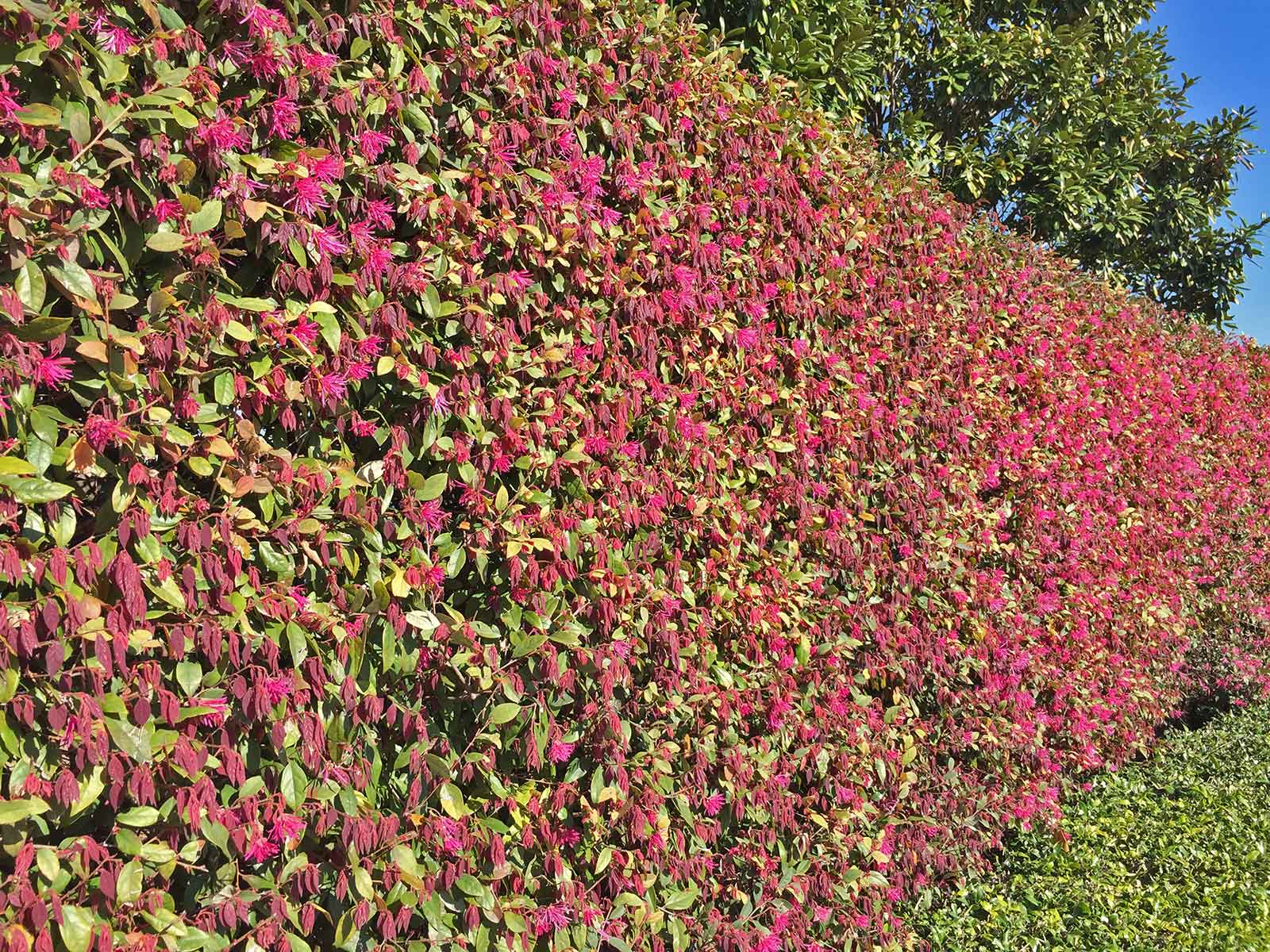 Tall hedge form  - Loropetalum can also be trimmed in a hedge form as seen in this example at the Dallas Arboretum.