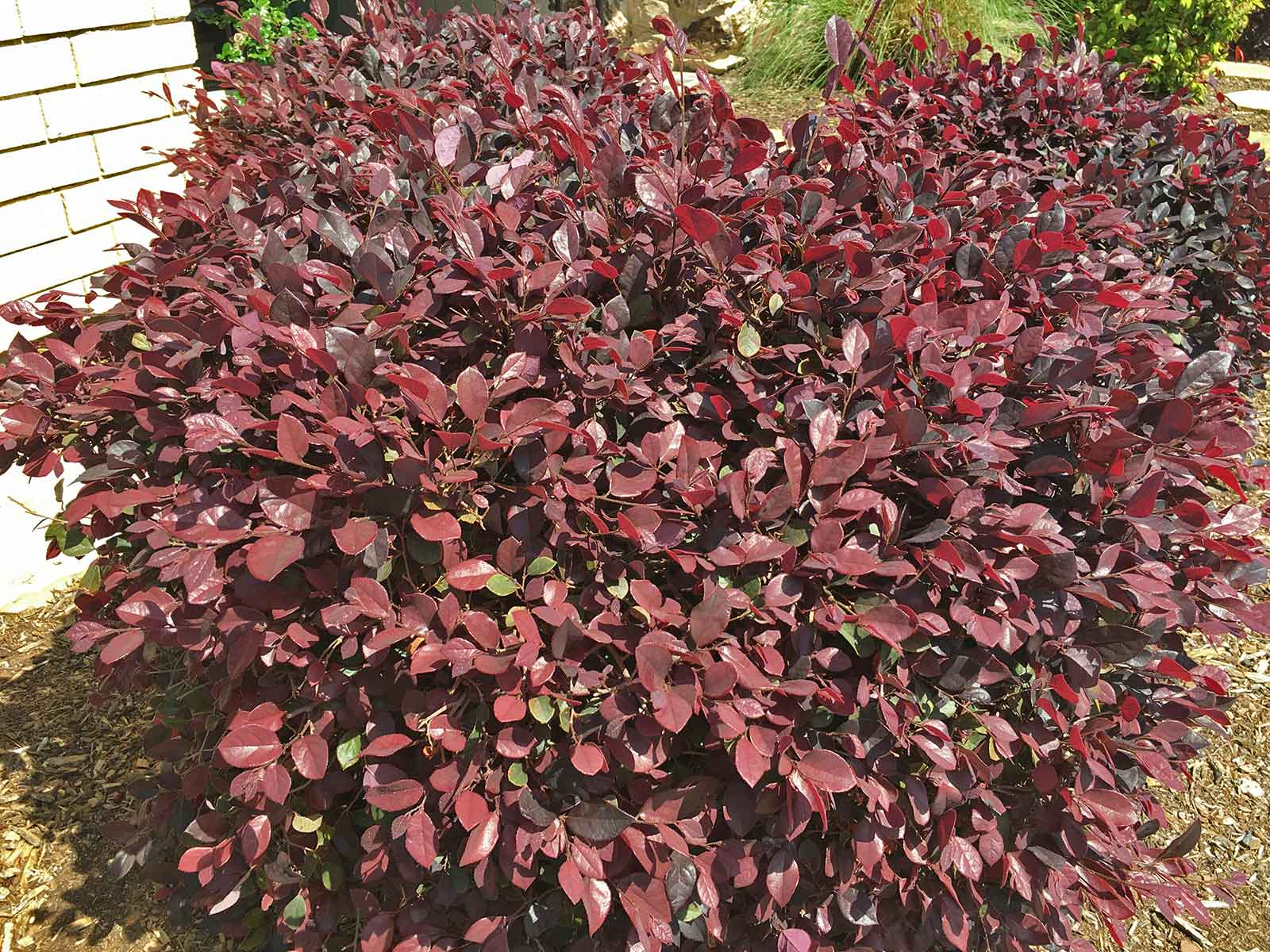 Shrub Form - Here Loropetalum is shown in a normal, shrub form that will fit into any garden size.