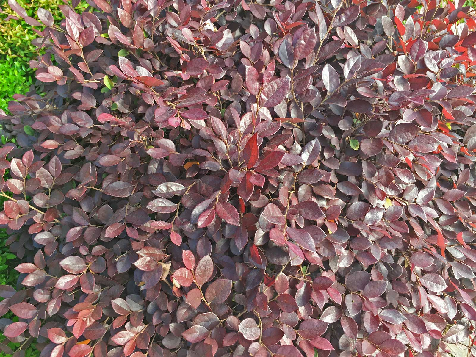 In certain varieties, deep burgundy leaves can dominate the entire shrub.