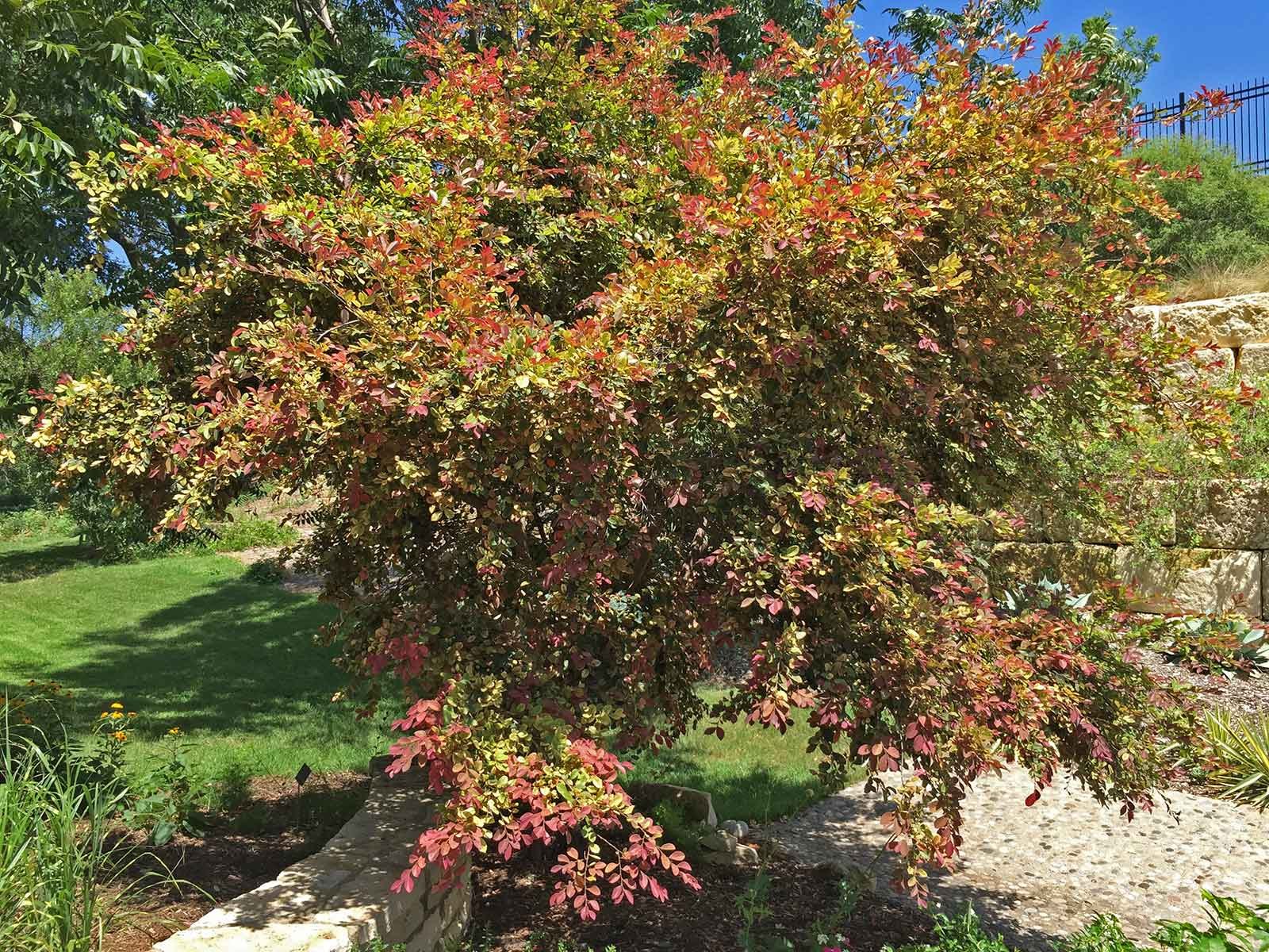 The reason some don't like planting Loropetalum is that certain forms, require maintenance and pruning. Here a Loropetalum left to grow to into a large, natural form.