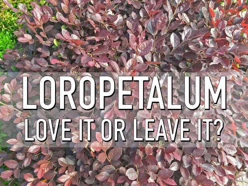 loropetalum-love-it-or-leave-it