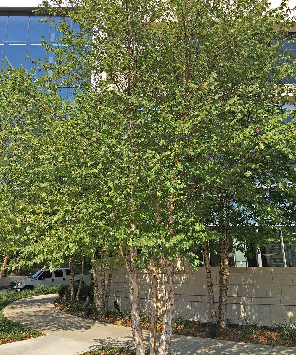 Plants For Dallas Your Source For The Best Landscape Plant Information For The Dallas Ft Worth Metroplex River Birch Tree Best Trees For Dallas Tx Plants For Dallas
