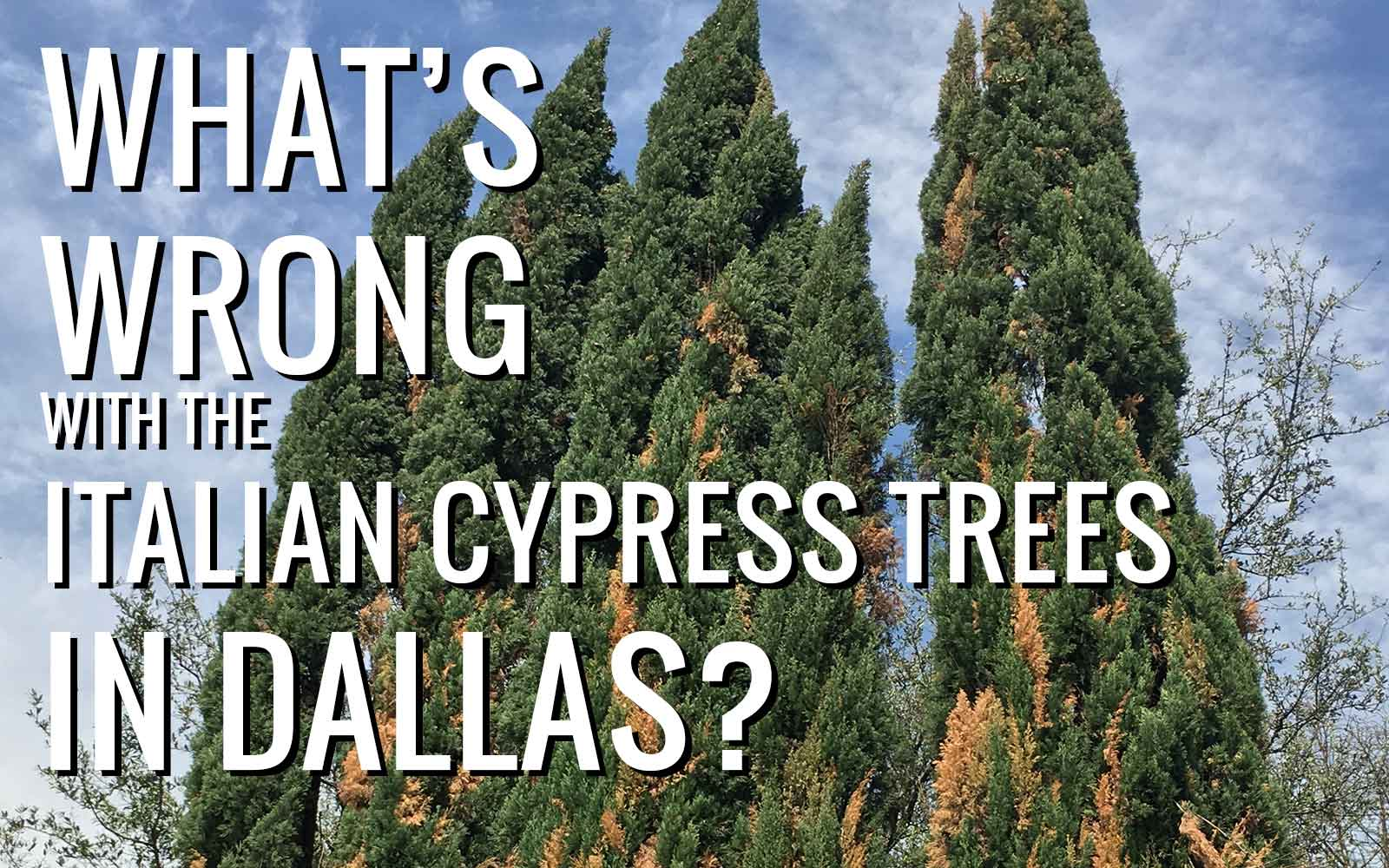 whats-wrong-with-the-italian-cypress-trees-in-dallas-.jpg