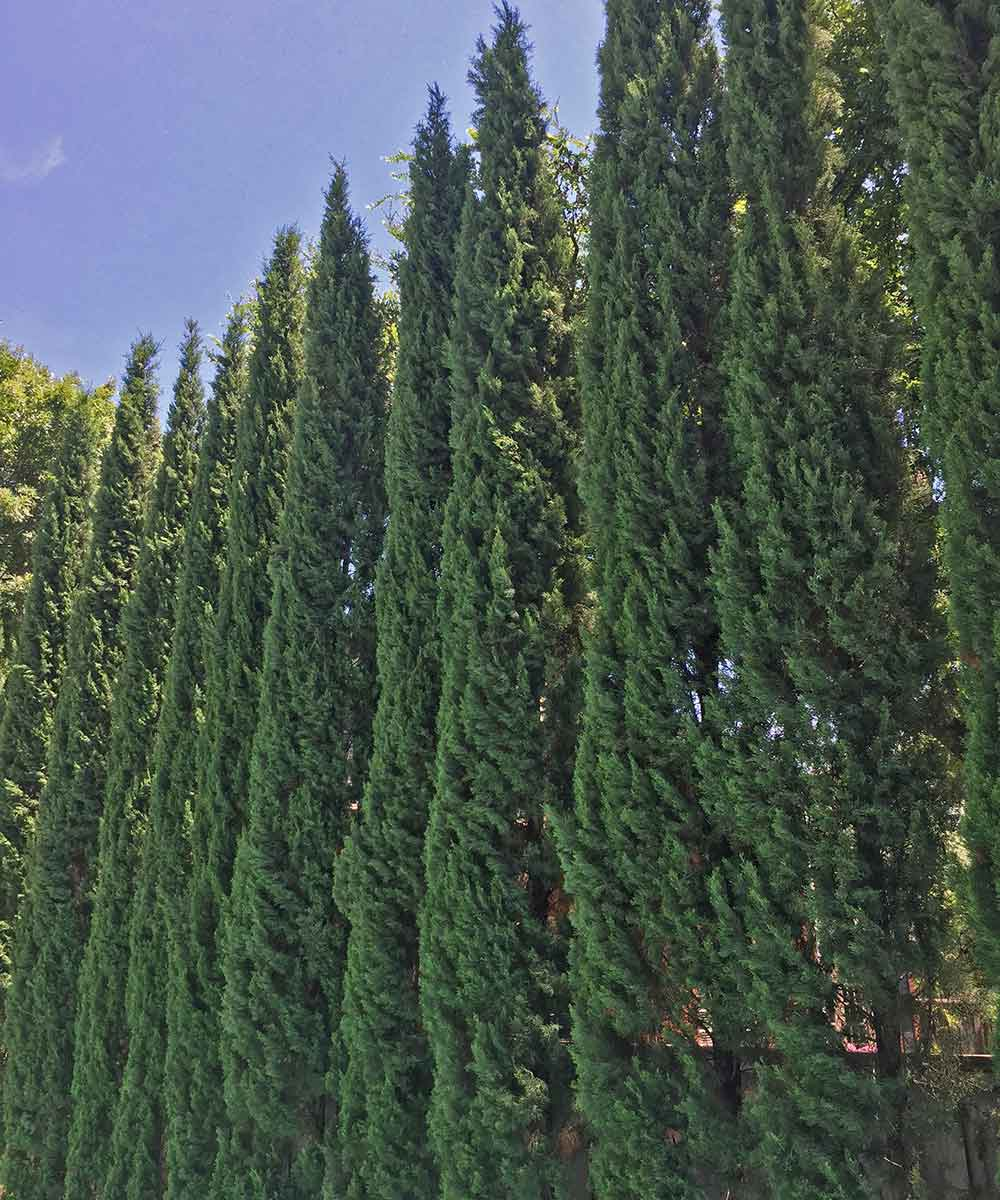 A healthy looking grouping of Italian Cypress set along a fence line and used for screening.