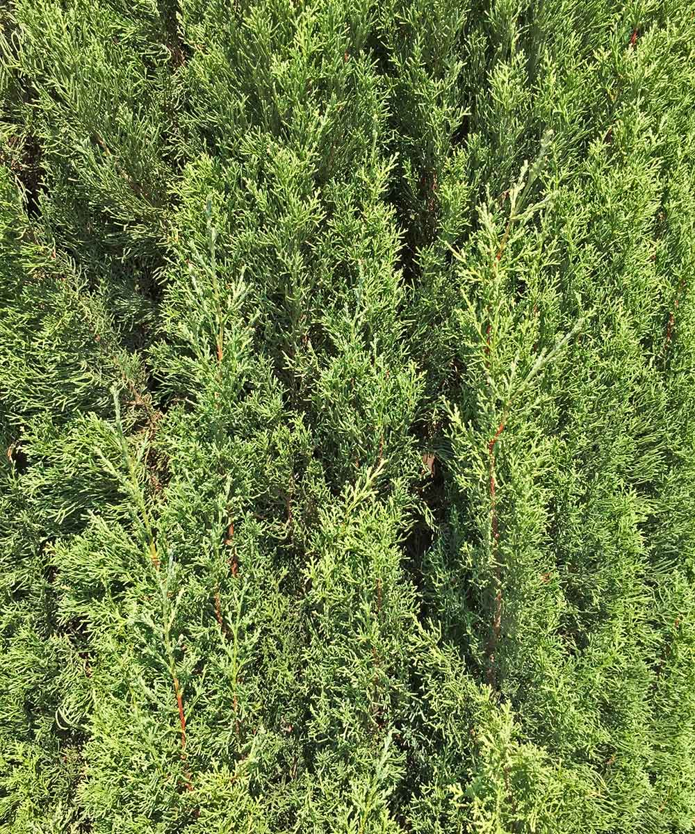 An example of healthy Italian Cypress foliage.