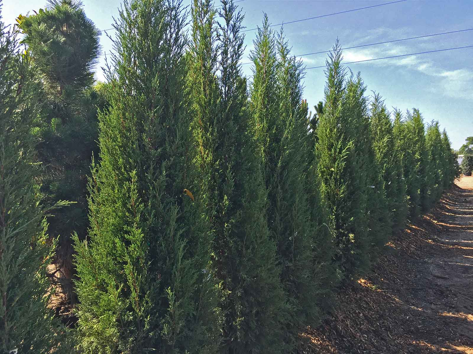Taylor Juniper (Juniperus virginiana 'Taylor') is a valid alternative for Italian Cypress providing an evergreen and columnar form for accent & tight spaces. 3' wide - 25'+ height