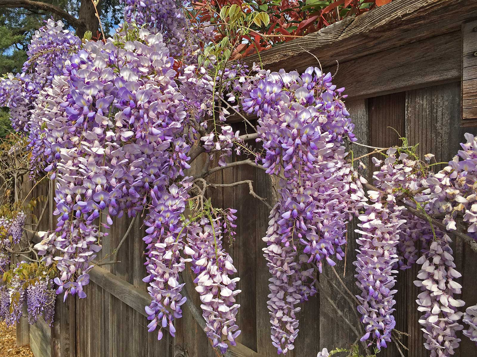 wisteria vine and blooms