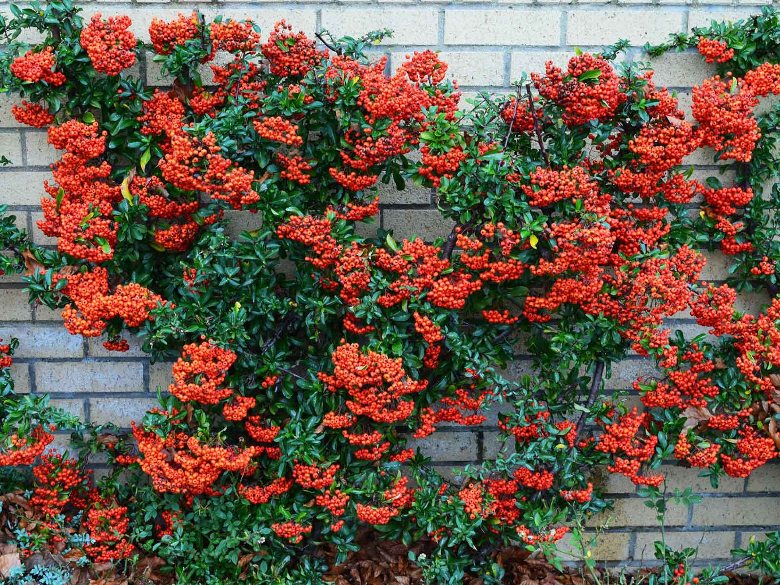 the best vines for dallas - firethorn pyracantha berries