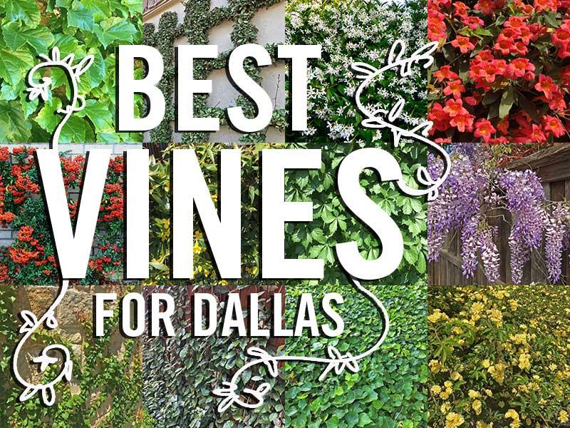 Best Vines for Dallas, Texas