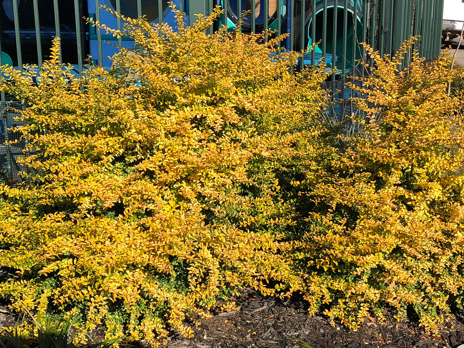 sunshine-ligustrum-shrub