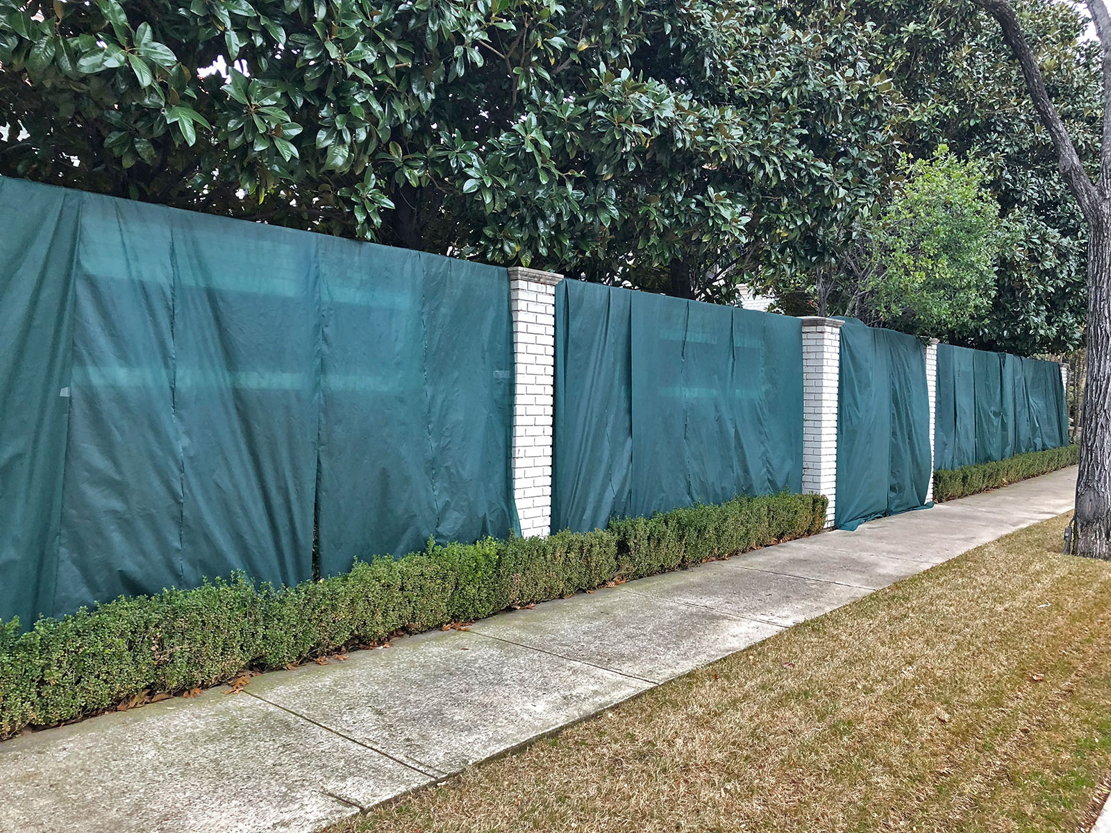 His is a smart homeowner using shade cloth to protect Fig Ivy during these cold nights.