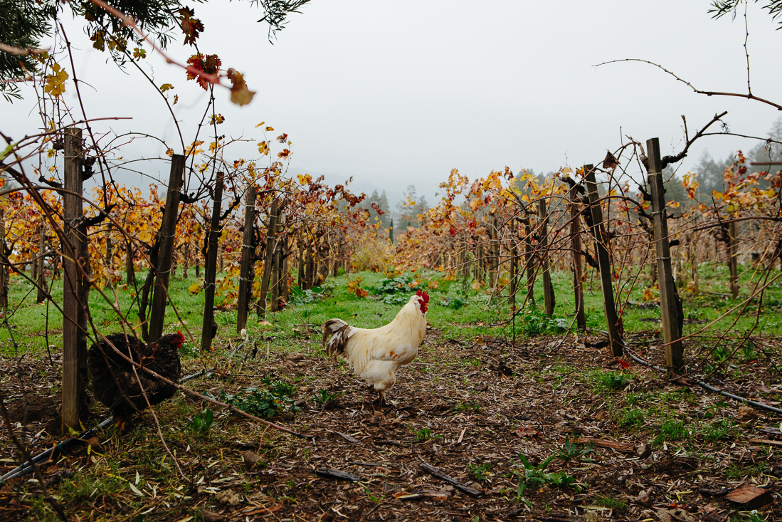 Why did the chicken cross the vineyard?  ...to get a buzz of course.
