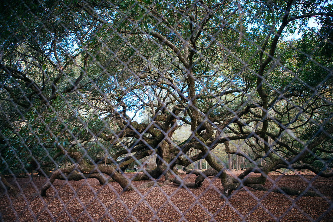 "I showed up to the Angel Oak Tree 5 hours before they opened the gate, but wasn't about to wait to make this same pic minus the fence layer.  Let's just call it ""ART""."