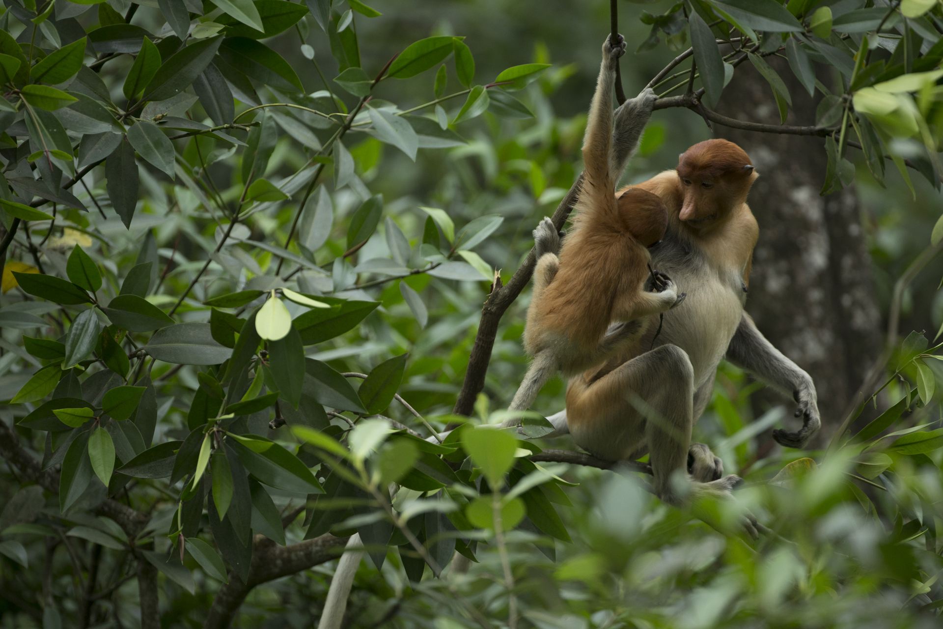 A young proboscis monkey moves to nurse from its mother.