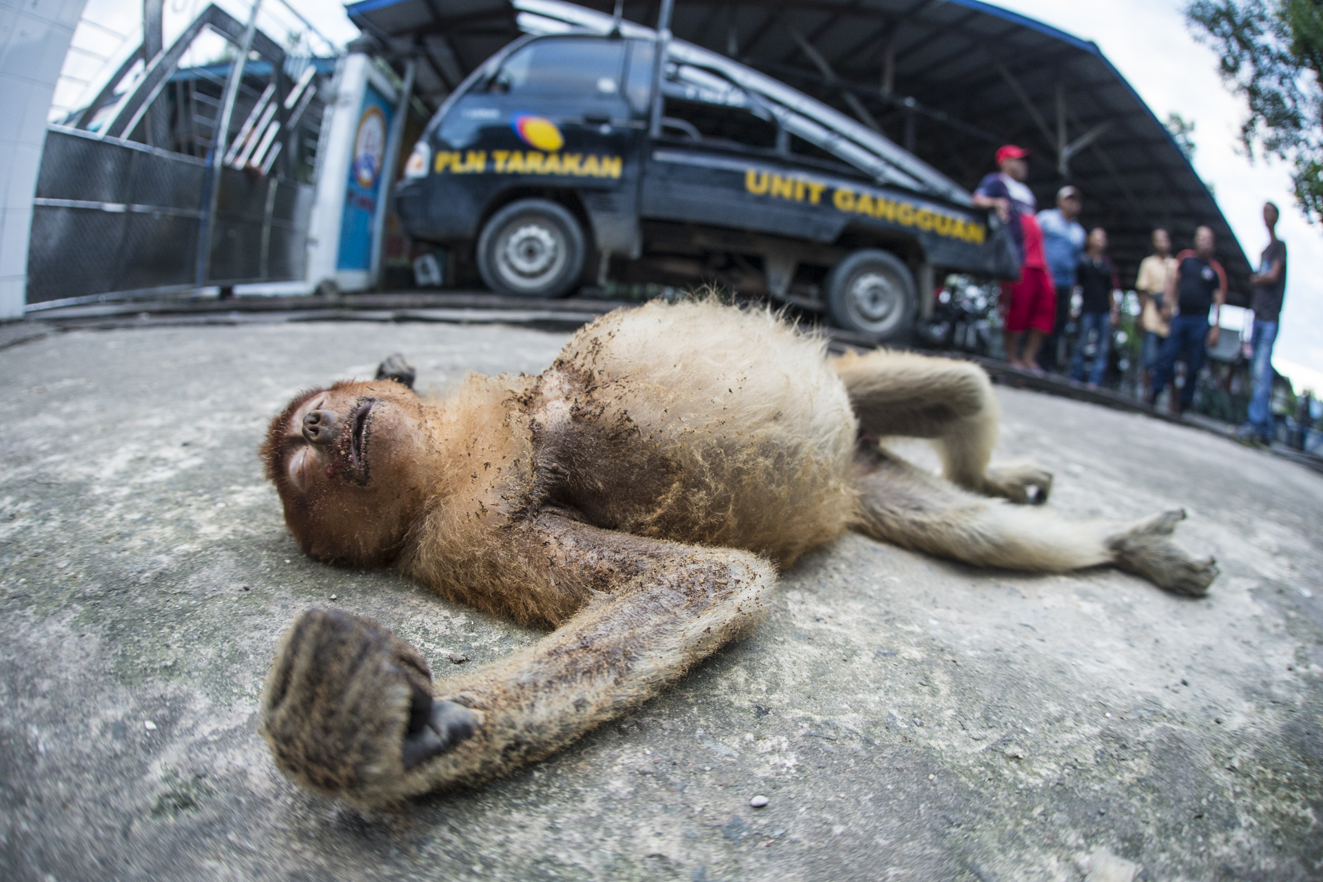 Monkeys are forced to venture into urban areas, this young monkey collided with an overhead power line at a shrimp hatchery.