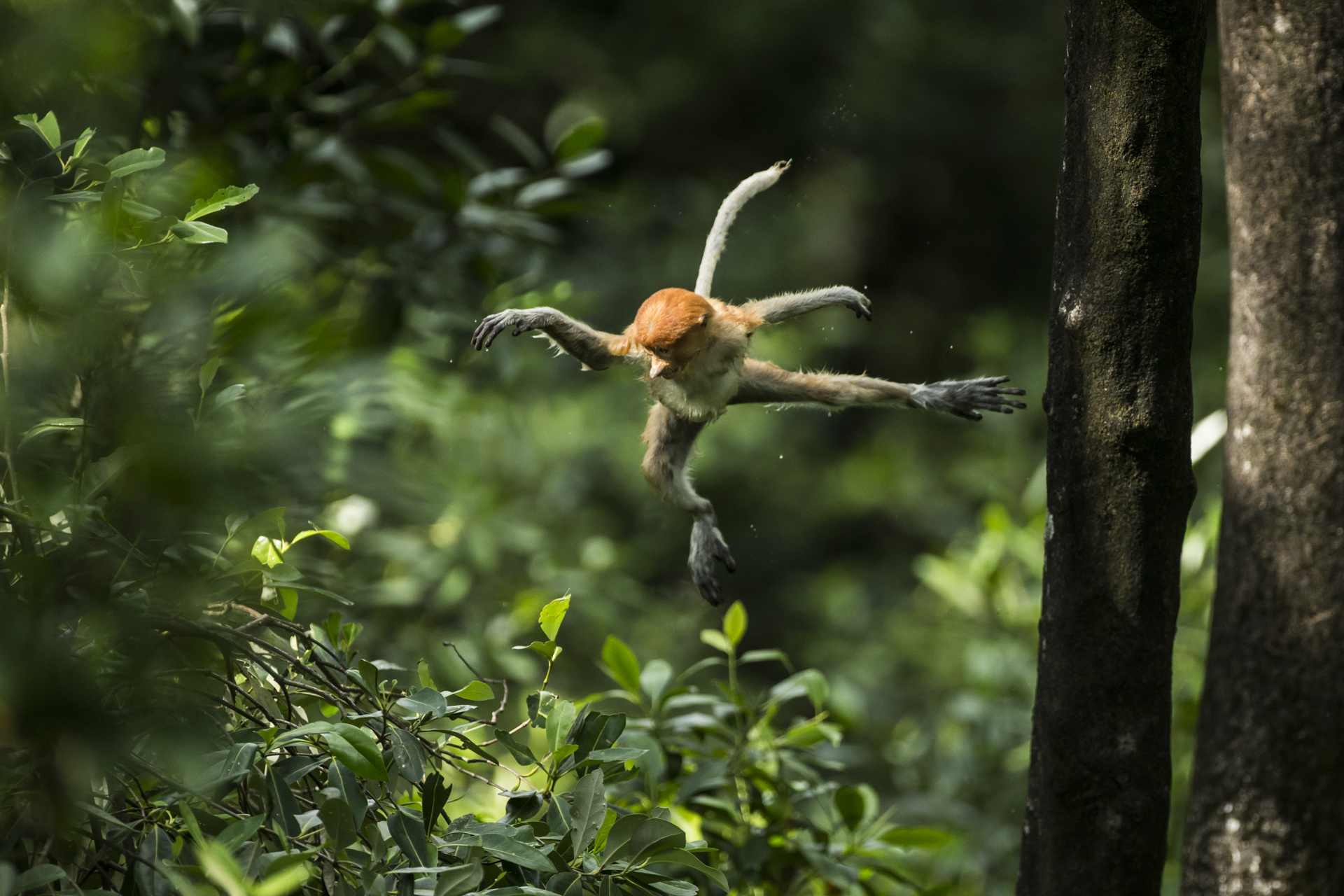 When playing, the youngsters often repeat behaviour, jumping from the same tree for over an hour at times.