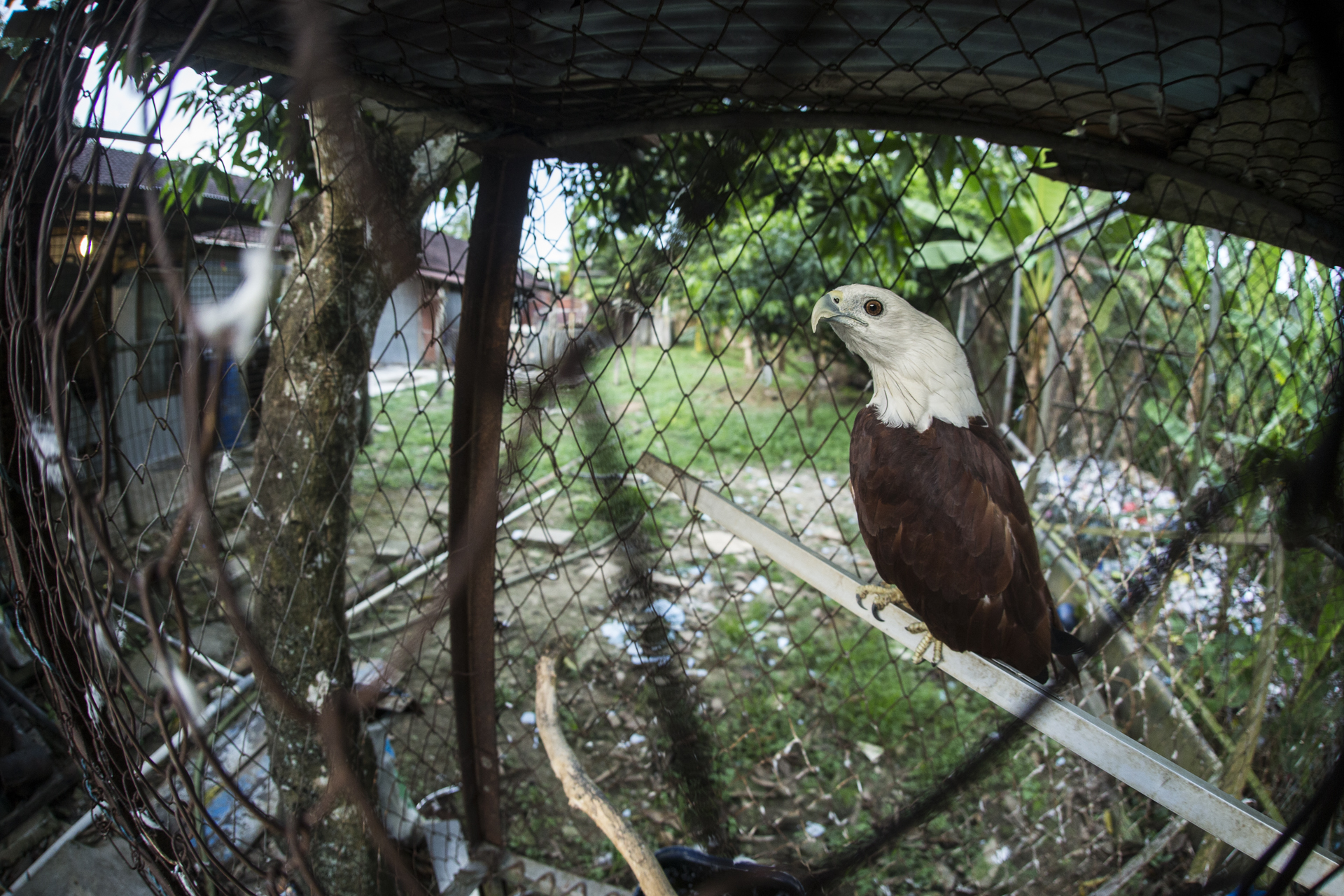 A Brahminy kite sits almost forgotten in its tiny cage. This bird was bought from a market by a power plant worker & now sits at the back of his compound beside the rubbish pile.