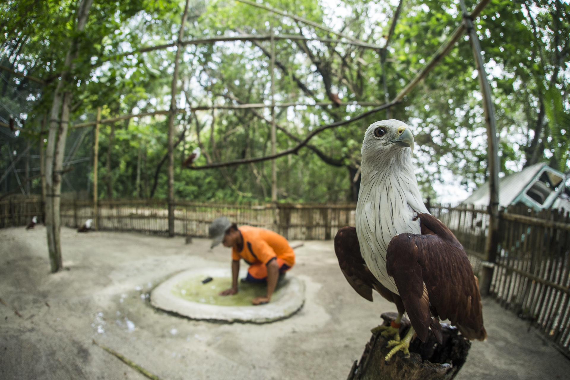 NGOs such as  JAAN (Jakarta Animal Aid Network)  are fighting the trade and have a specialised bird of prey rehabilitation centre on Kotok Island.
