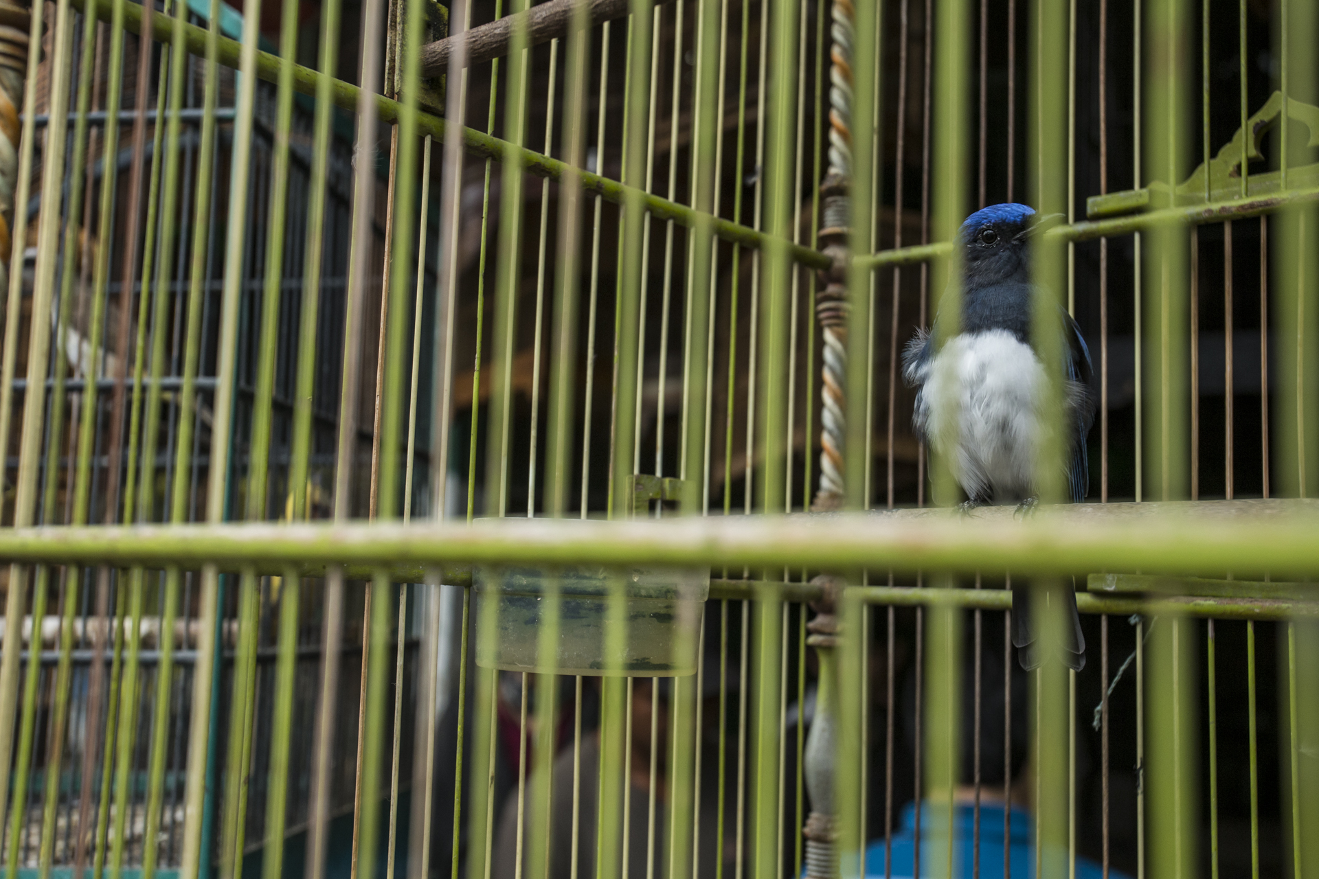 No bird is safe, this Blue and White Flycatcher migrates from China and Korea to Indonesia but did not escape the poachers.