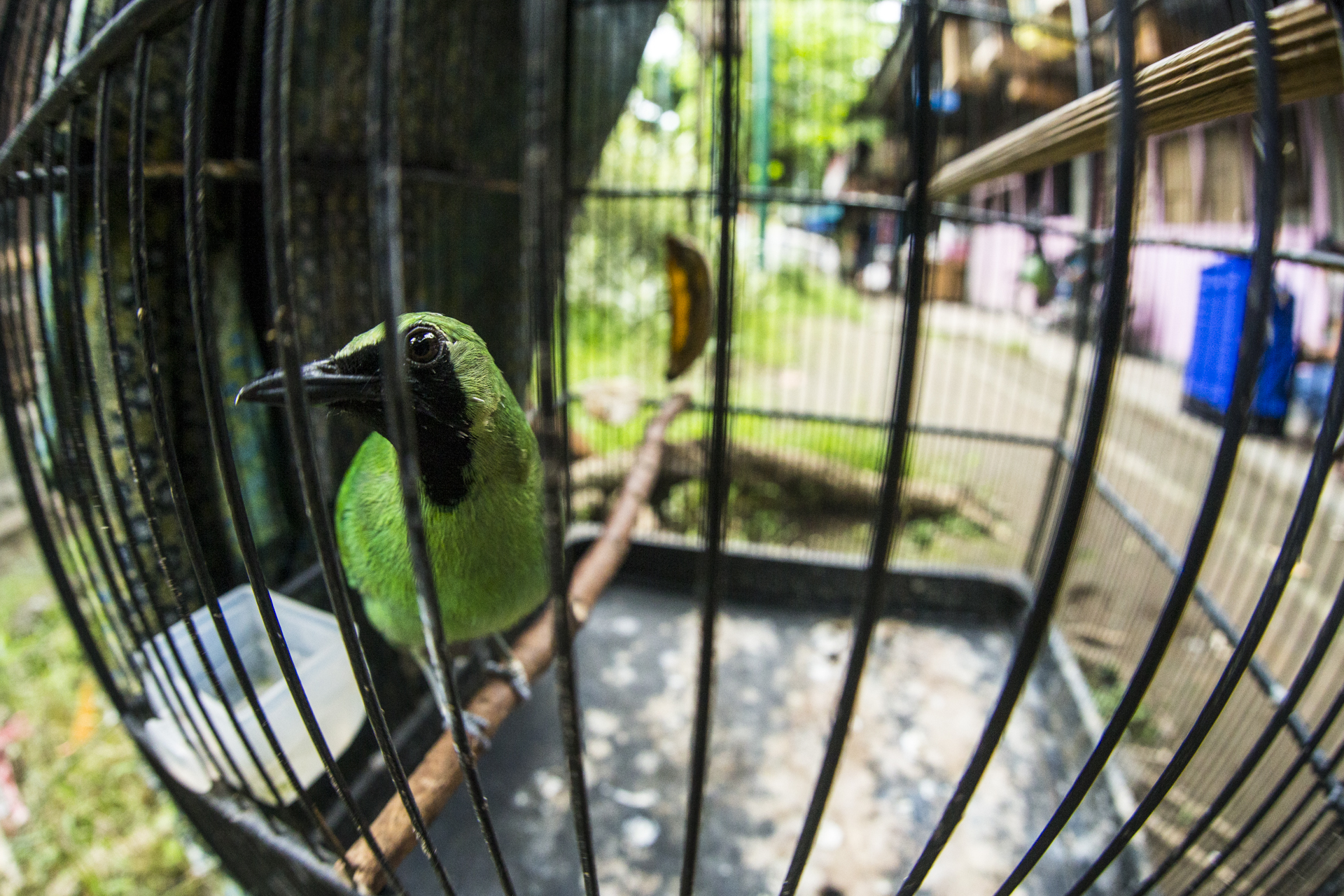 A greater green leafbird, one of the most commonly seen birds for sale in the markets.
