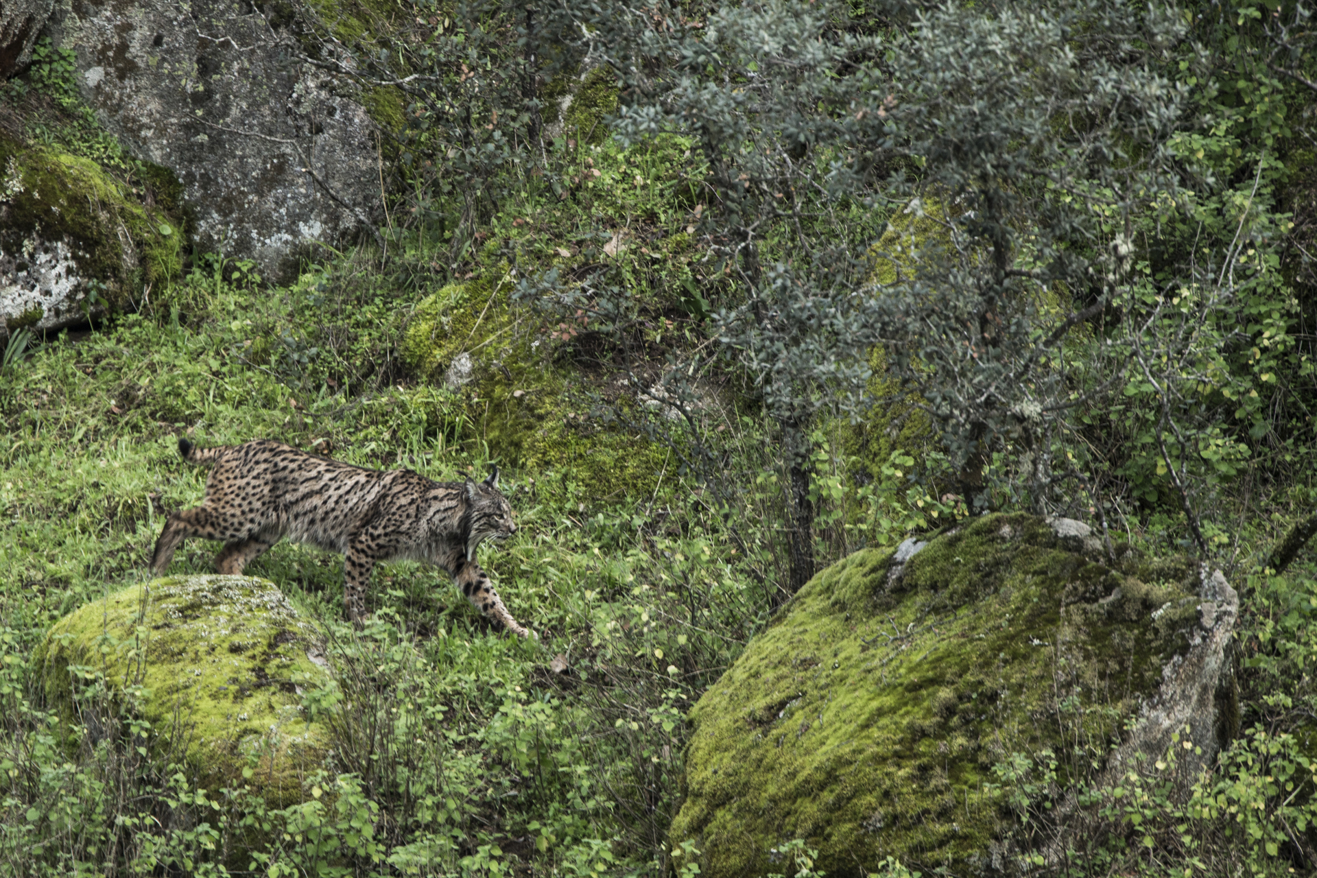 The cats are now found throughout southern Spain but their stronghold is the the Sierra de Andujar NP.