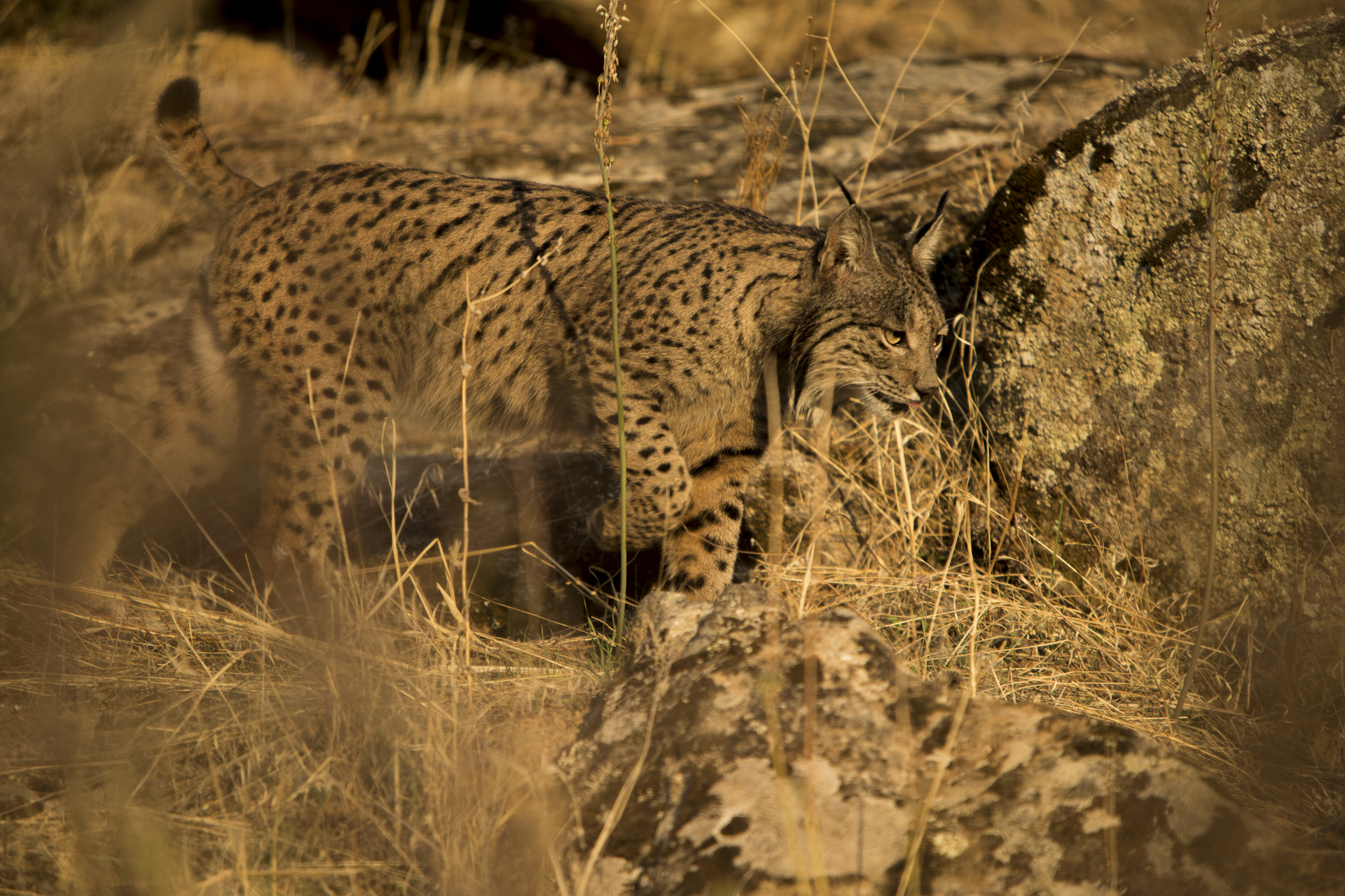 Dawn and dusk provide the best opportunities to spot these cats as they hunt out their main prey, rabbits.