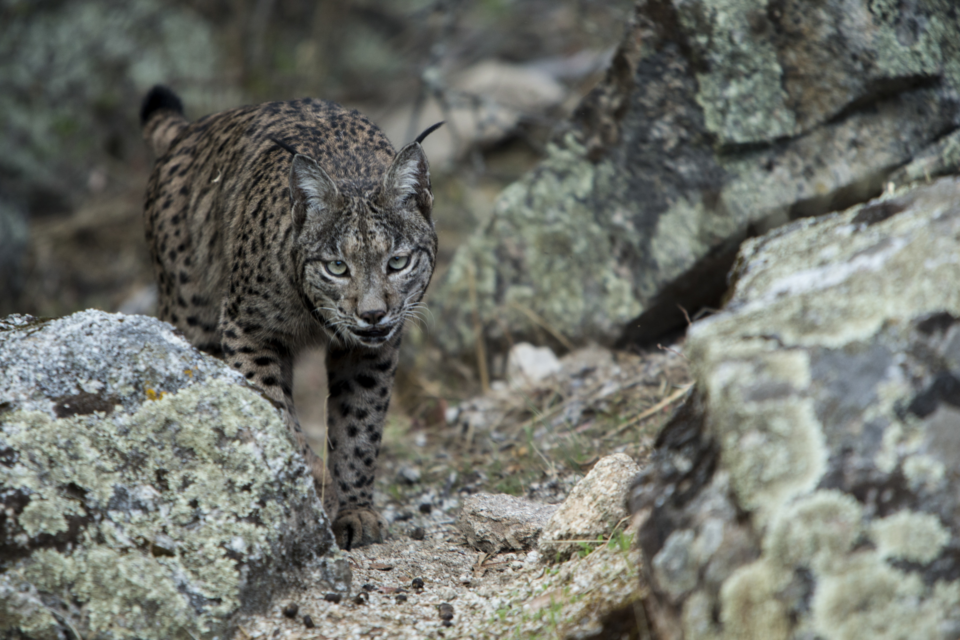 An Iberian lynx.