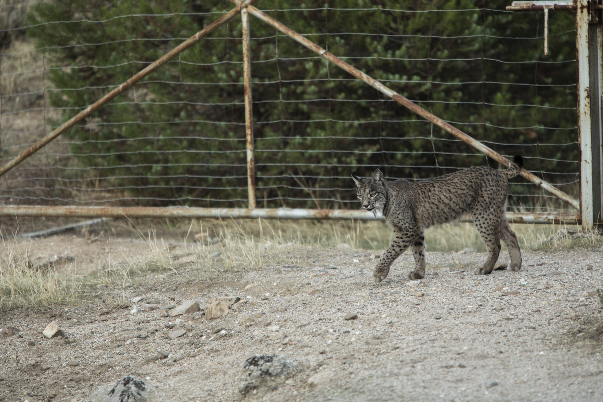 Private estates make up much of the Sierra de Andujar but lynx roam freely, easily crawling under and jumping over fences.