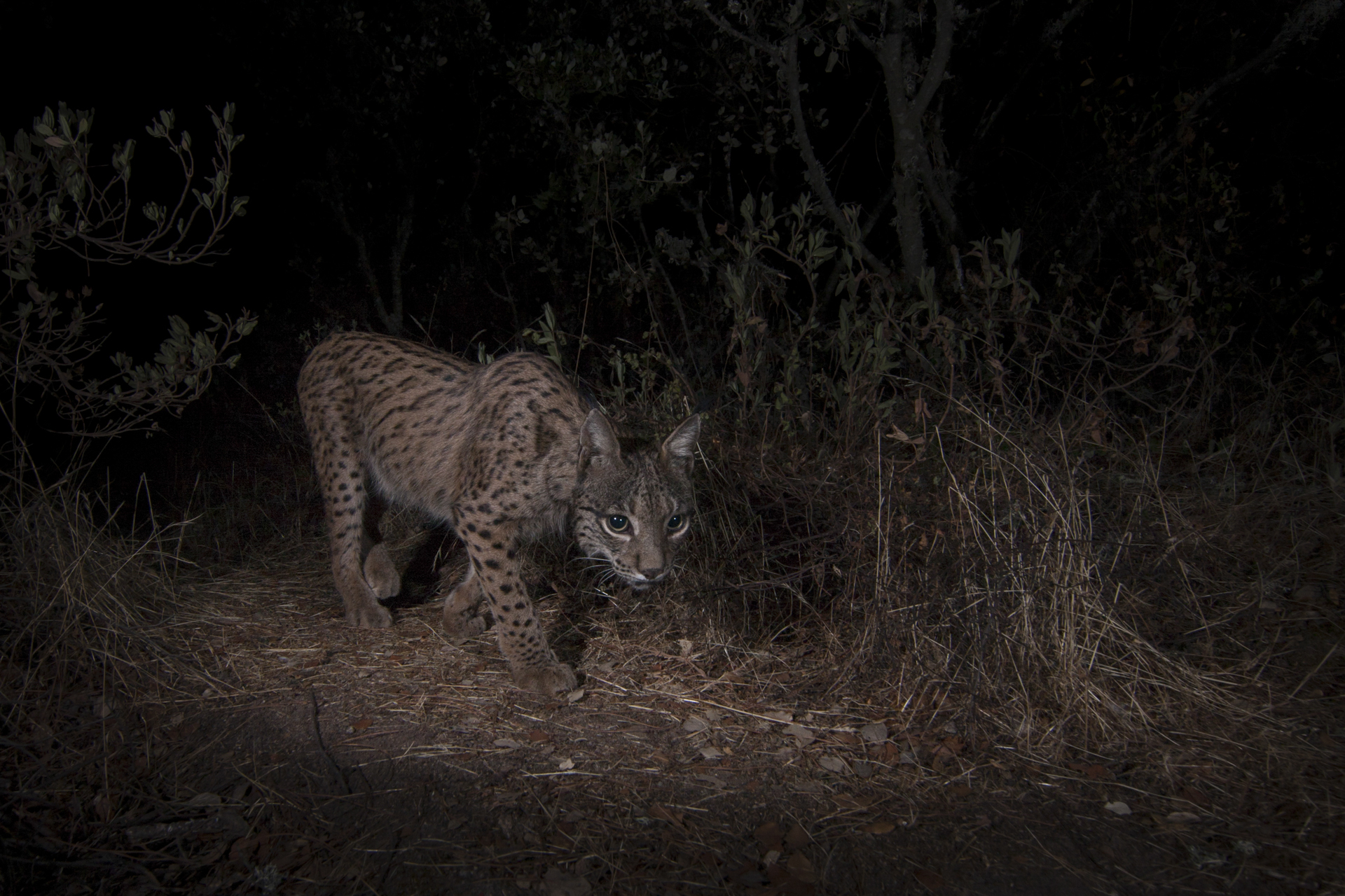They are predominantly nocturnal, especially in the summer months when temperatures reach over 40C.