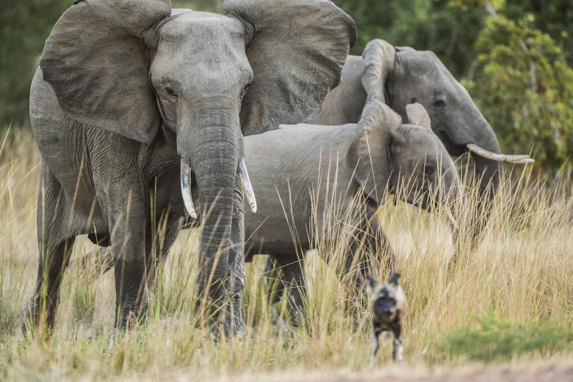 A wild dog runs from an elephant it had been teasing.