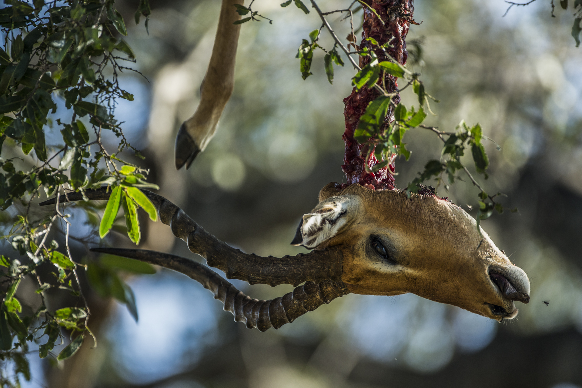 With lions and hyenas prowling, the safest place for a leopards meal was high up in the trees from any potential thieves.