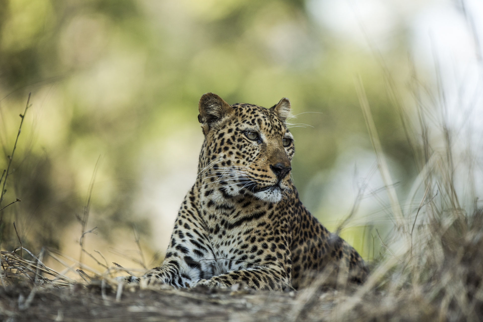 Alice, a 12 year old leopard, famous in the park for her bold nature. The mother of the 4 cubs I followed alongside her.