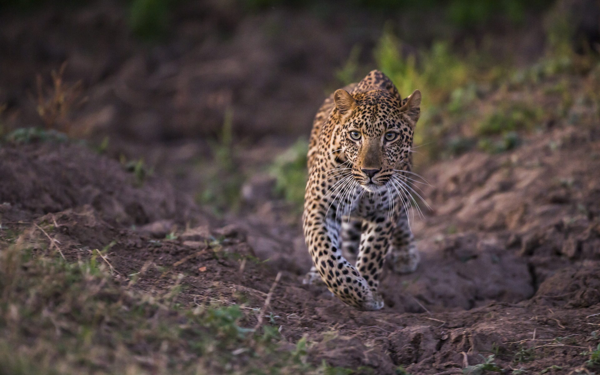 The gullies across the plains have been carved out by hippopotamuses moving from the river to the grasslands. The gullies provide leopards with the ultimate ambush point.
