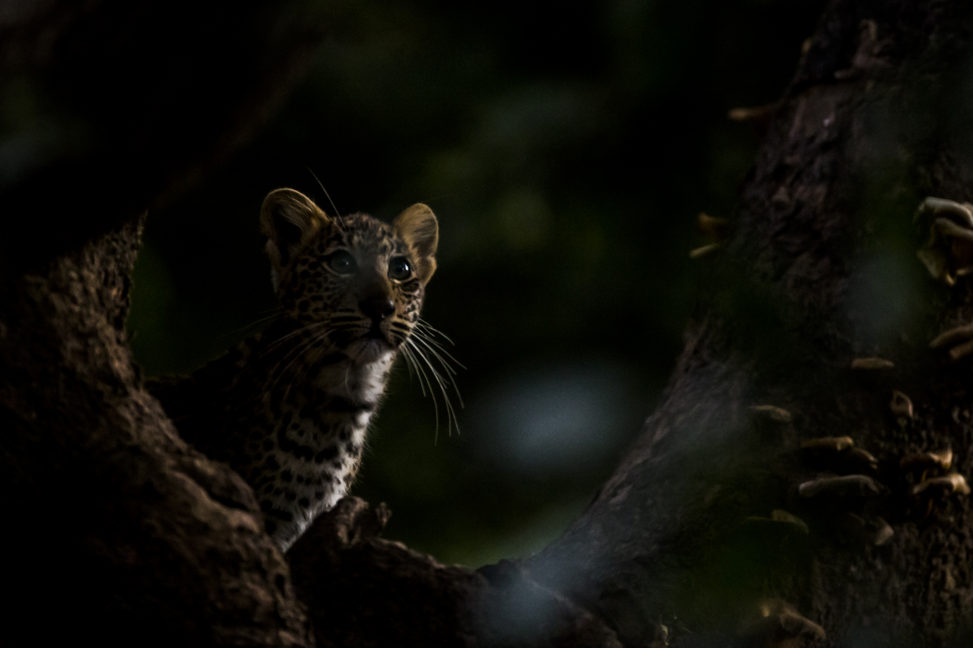 It took 2 weeks to find the cubs as they hid amongst the undergrowth and up trees.