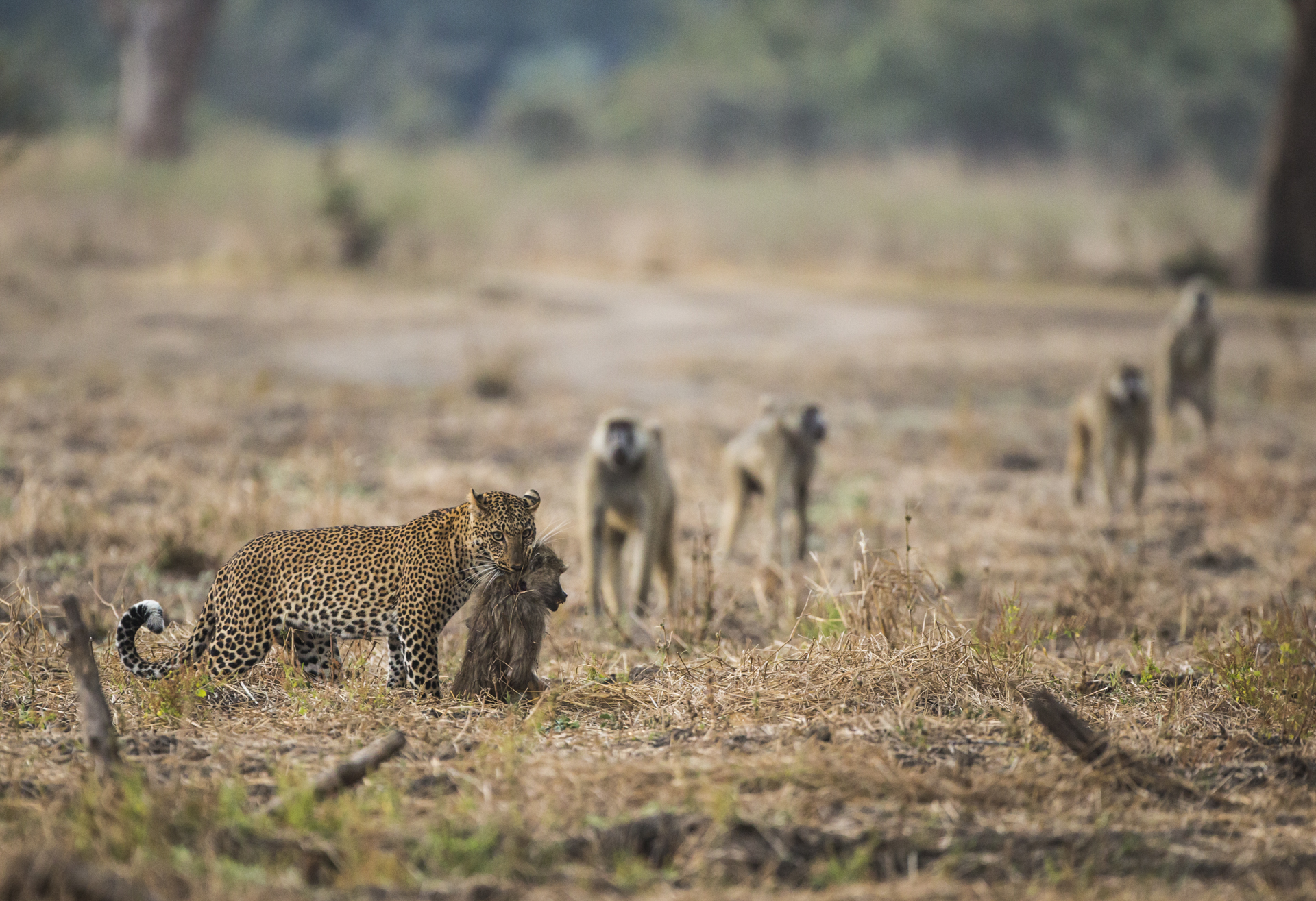 Baboons provide a good meal but fighting off the rest of the troop can carry risks.