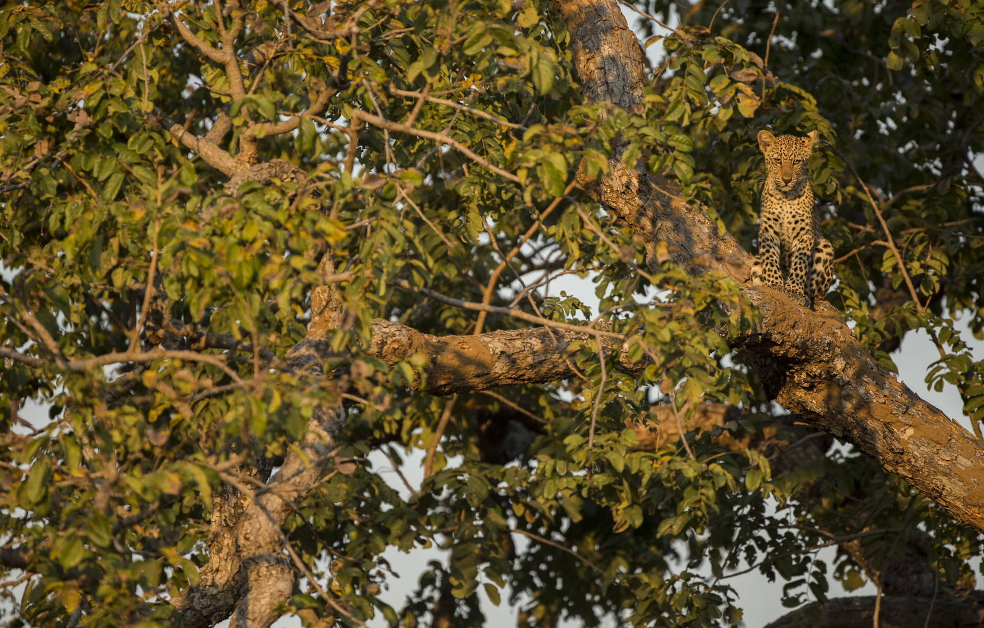 For a young leopard cub trees are the safest place, away from any opportunistic hyenas, lions or even other leopards.