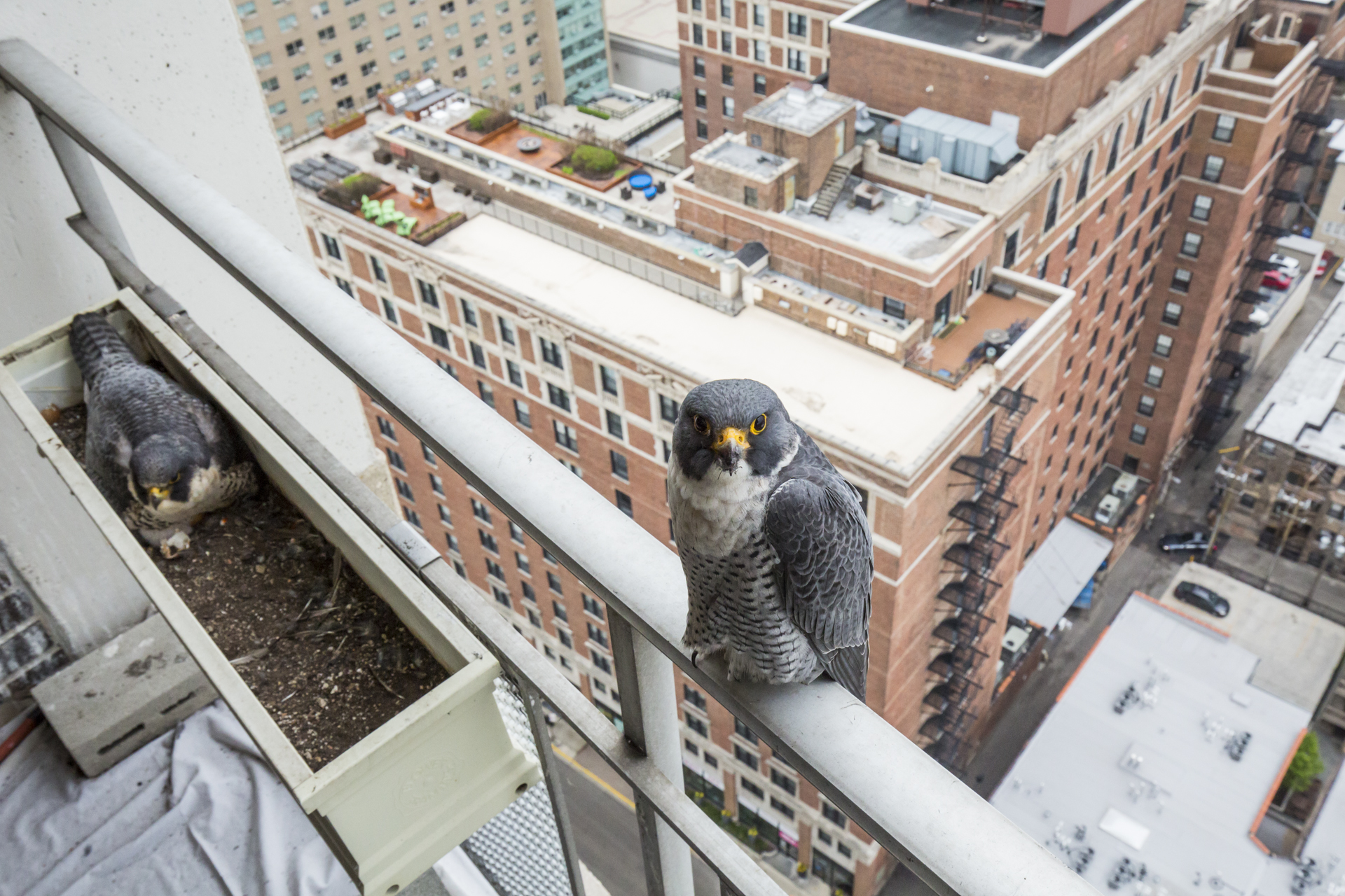 Whilst Steve, the tiercel, wasn't out hunting he'd never be far from the nest site. Ready to defend it from intruders.