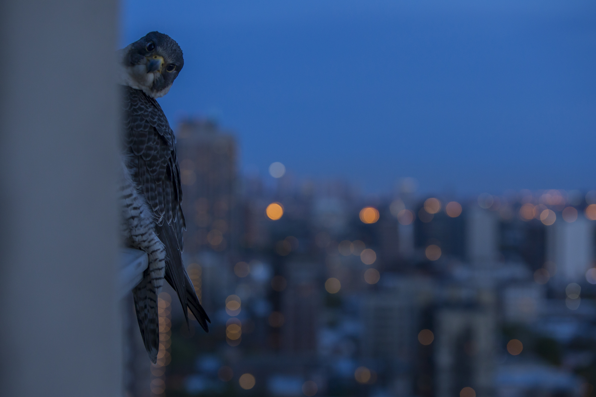 Linda, the female peers round from her nightly perching spot with the Chicago skyline beyond.