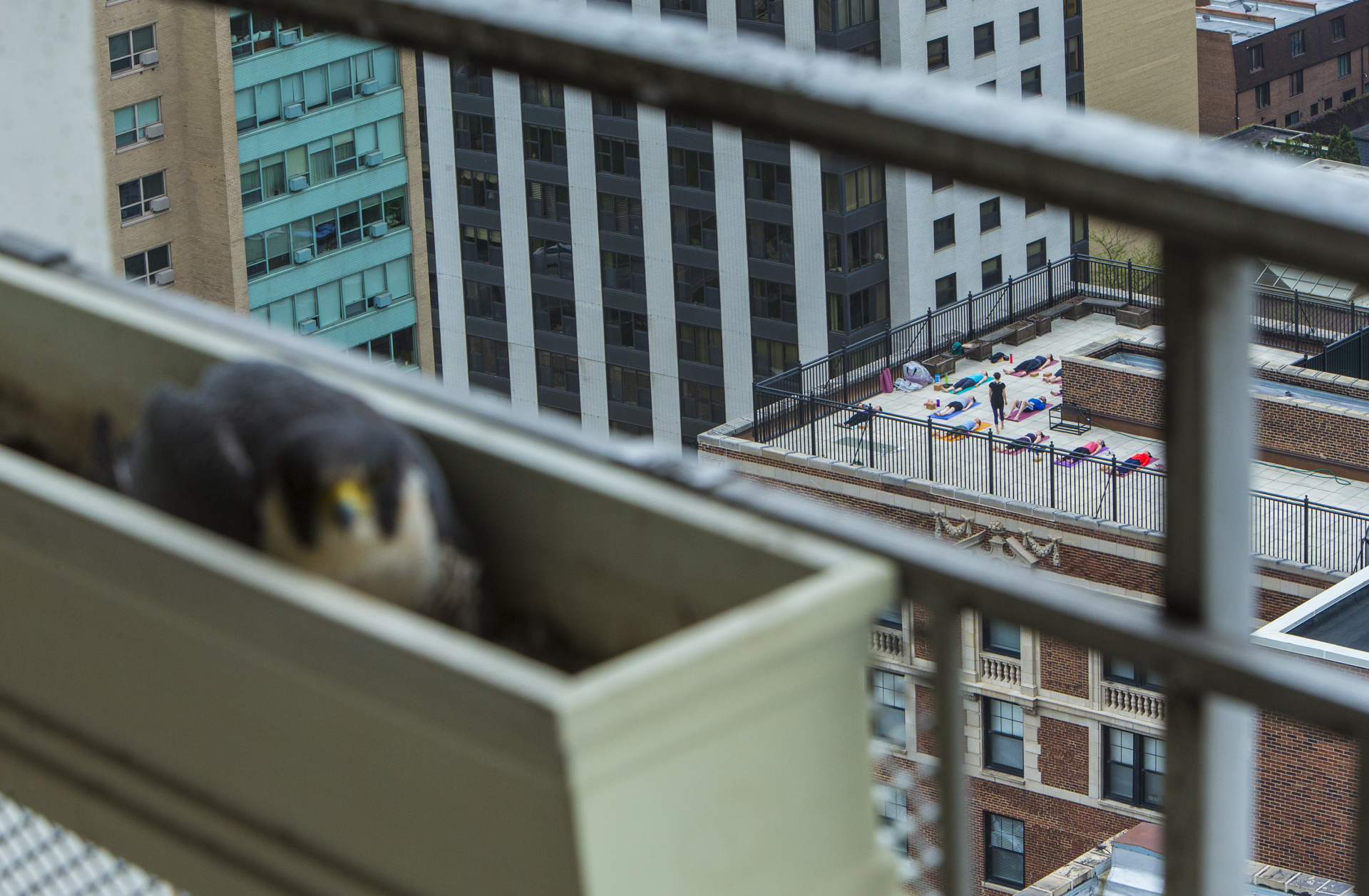Whilst humans went about their daily routine, peregrines went about theirs overhead.