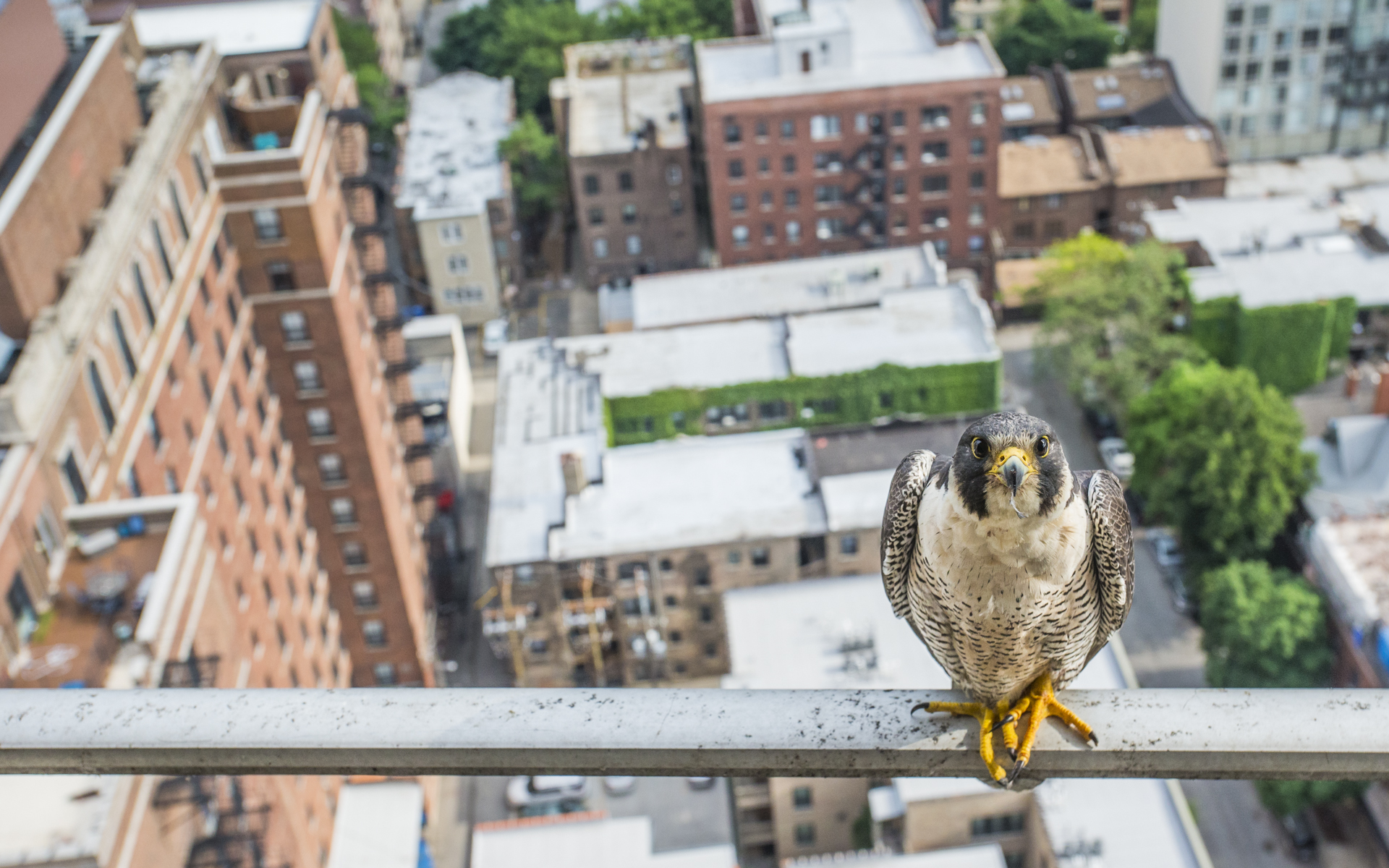 It is amazing to think these birds were on the brink of extinction 30 years ago and now thrive in the centre of such a large city.